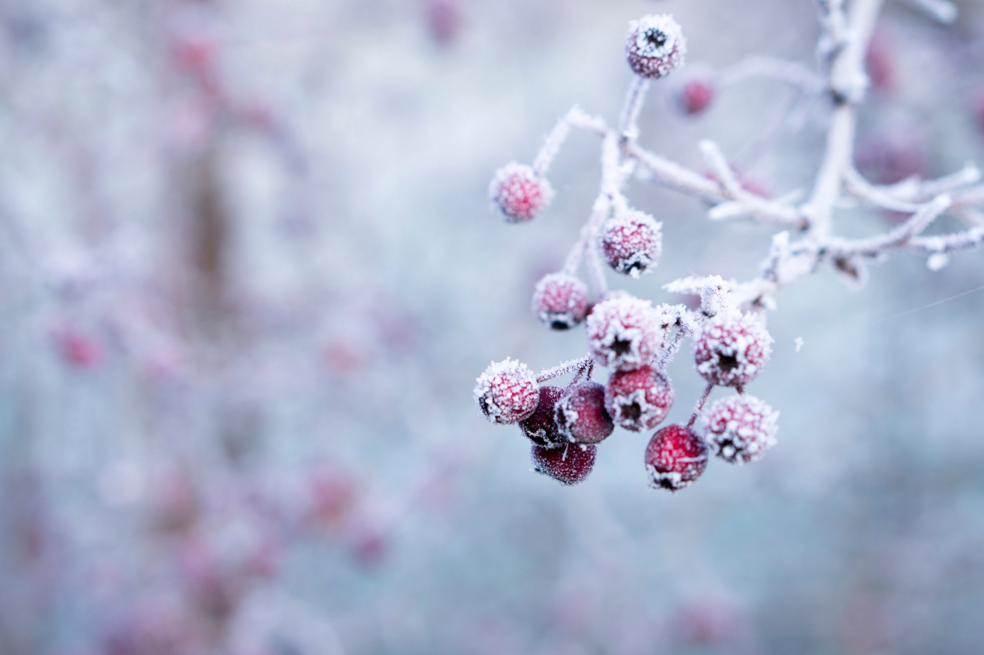 Close up photograph of red berries on a branch covered in frost.