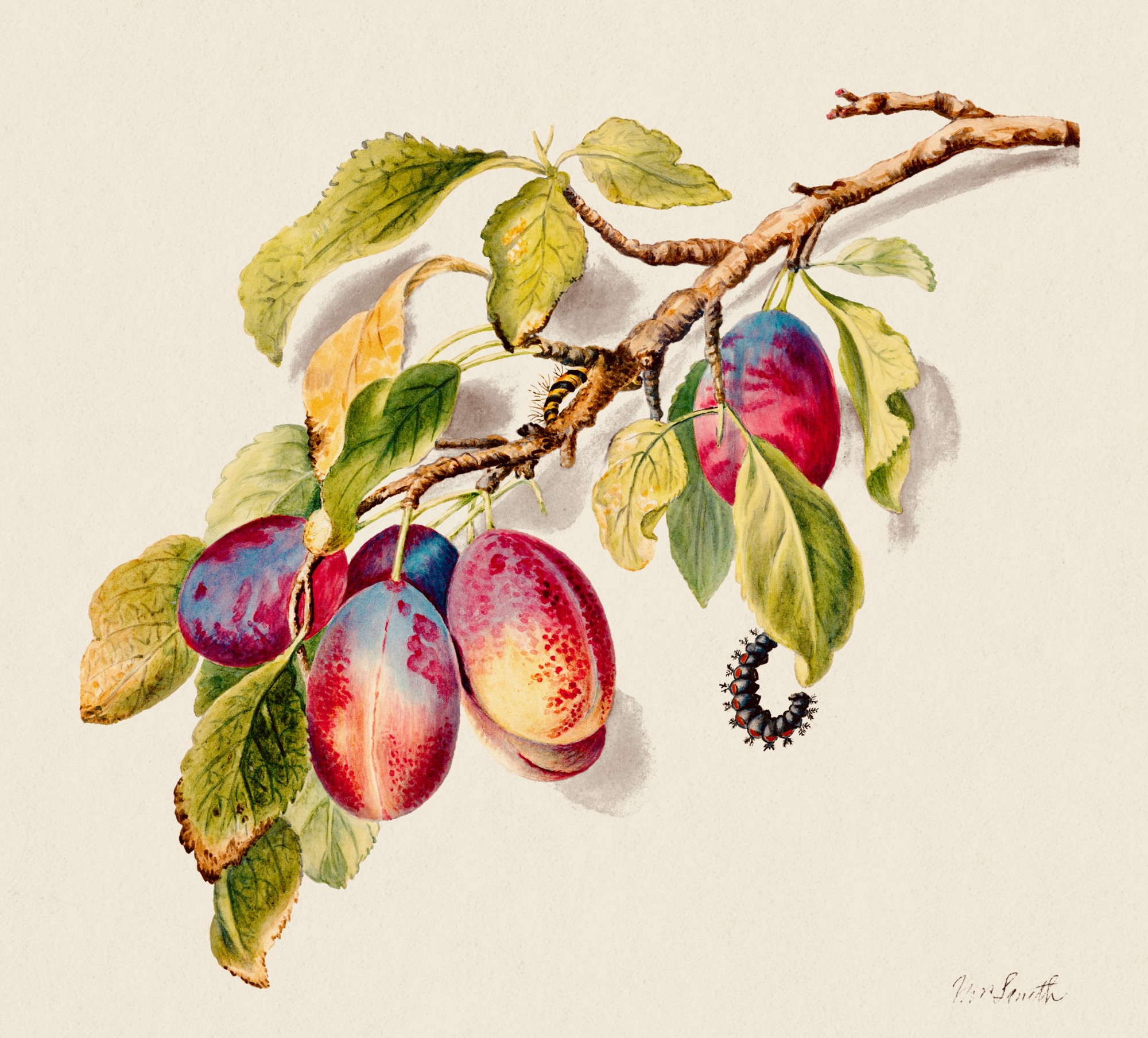 Vintage artwork of a tree branch with plump plums and caterpillars crawling on its leaves