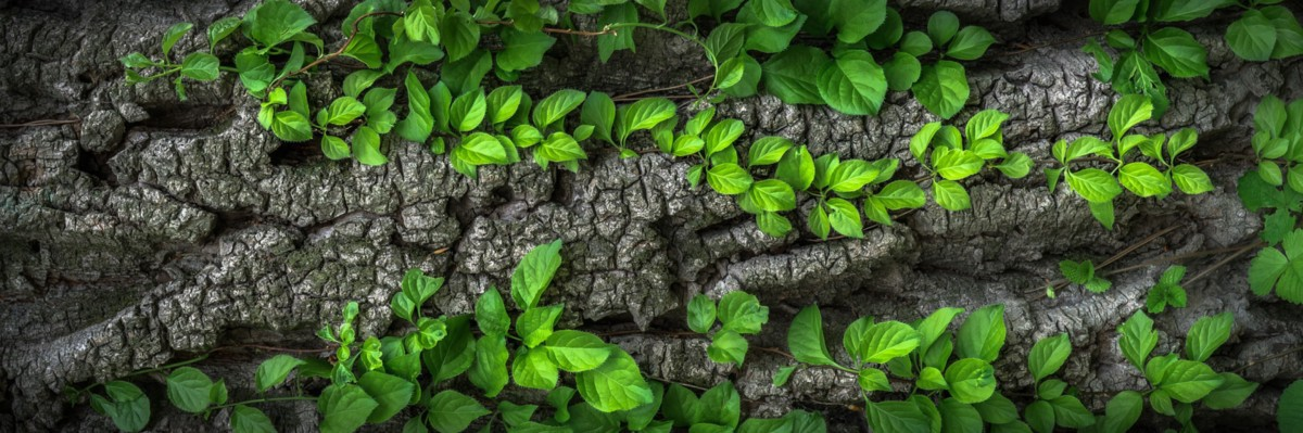 Bright green leaves growing on vines that crawl over top of an old tree trunk.
