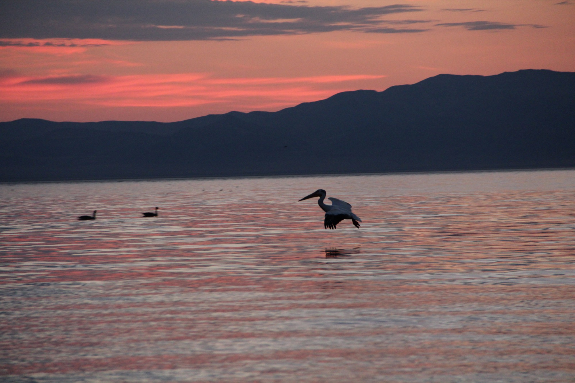 A pelican just above the surface of a lake, pink light from sunrise bathes the scene.