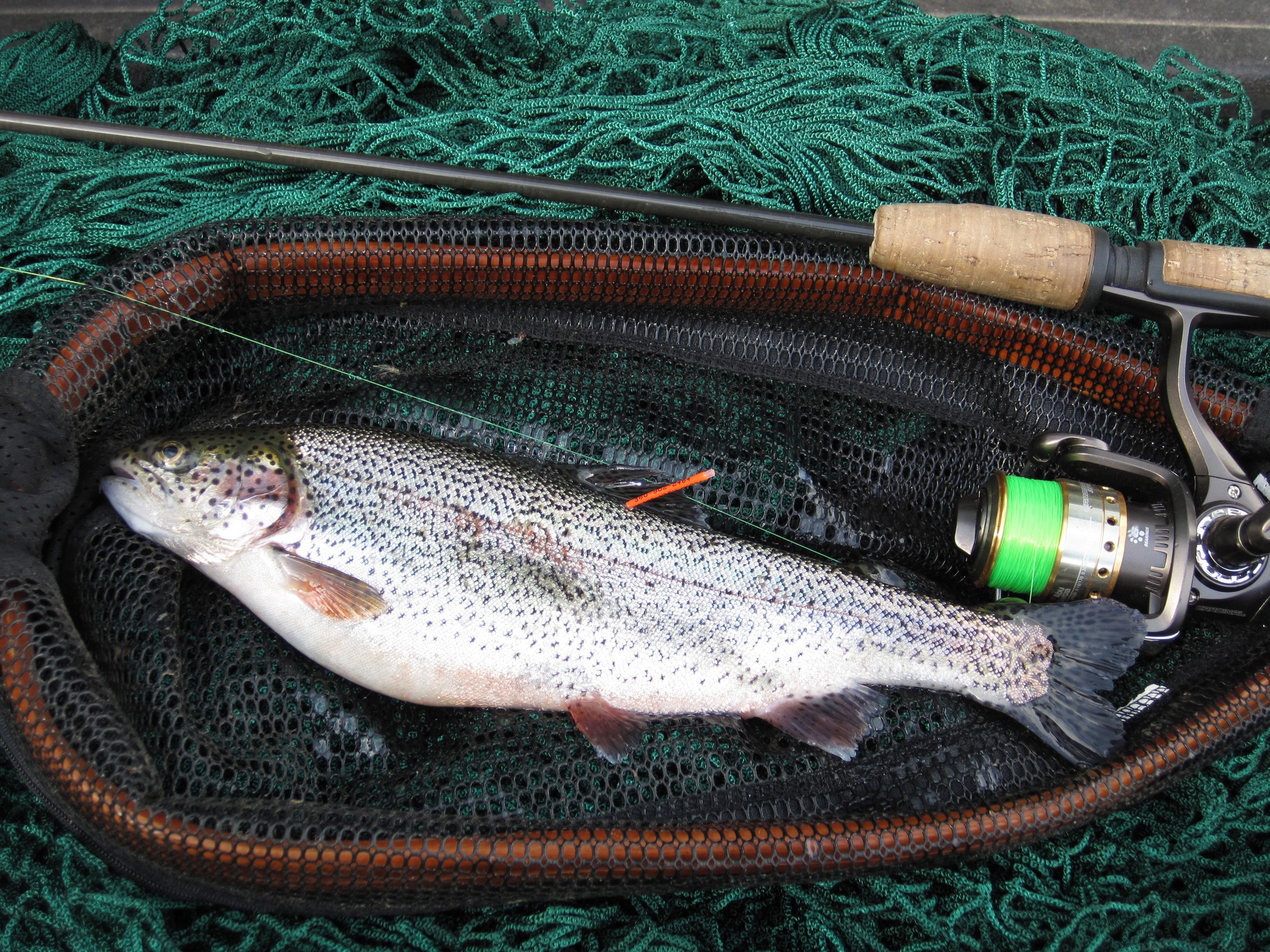 A tagged prize trout in the 2021 Trout Derby in a net after being caught.