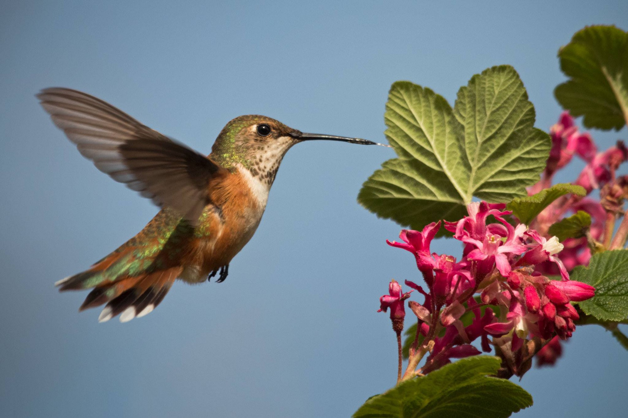 A female rufous hummingbird approaches a currant flower to feed