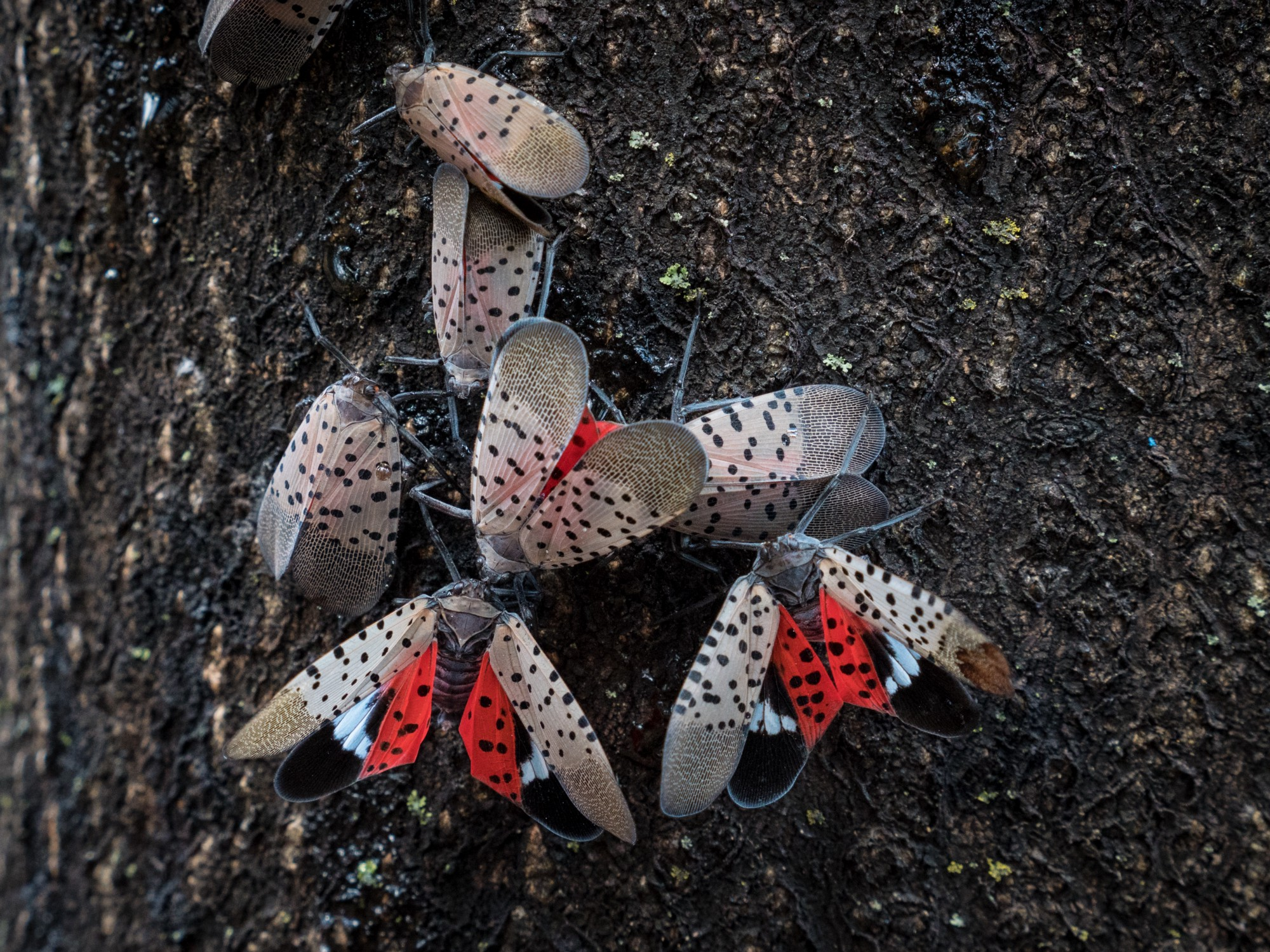 Seven spotted insects, three with outstretched wings showing a bright red interior