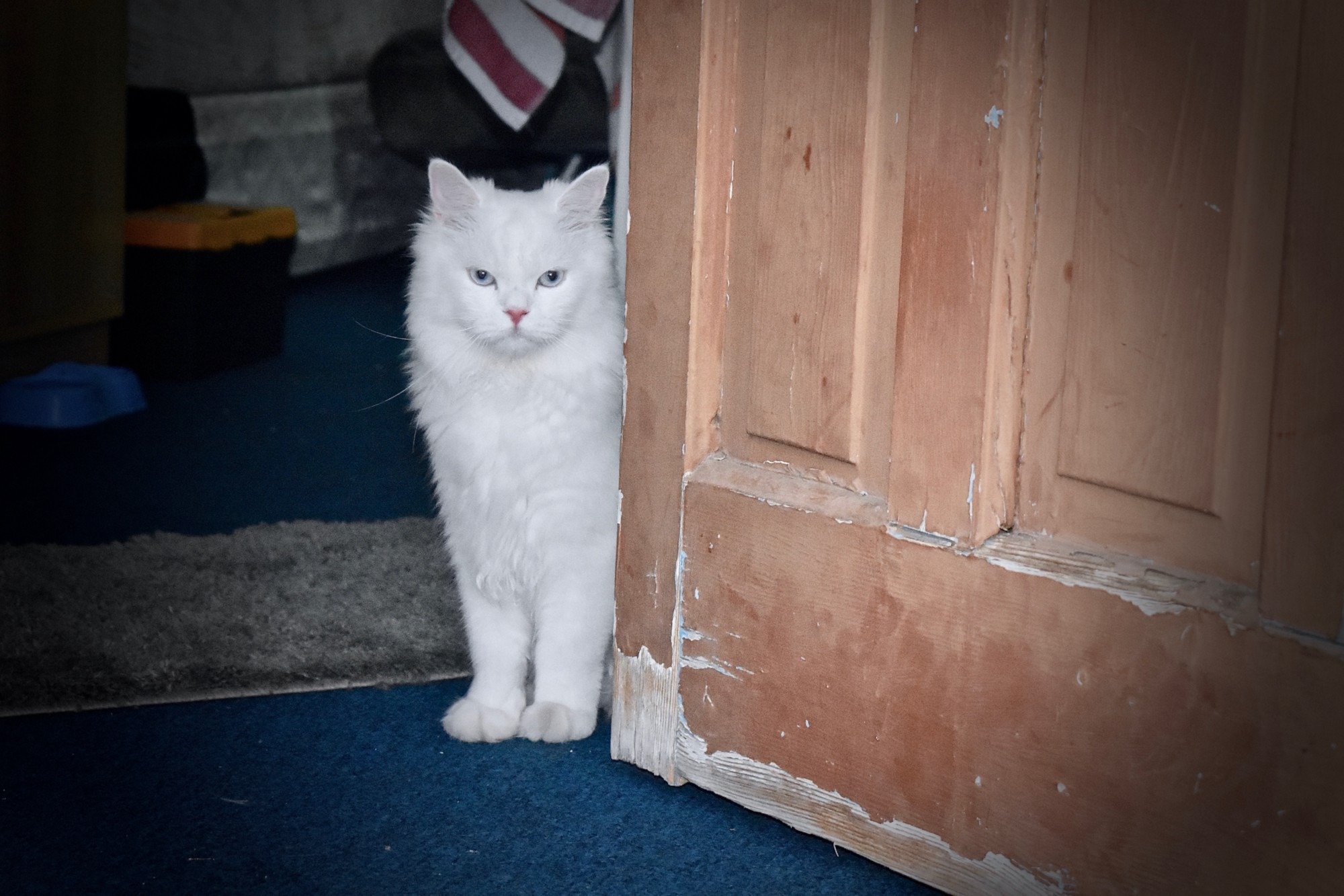 A white furry cat stands at the door waiting for his owner