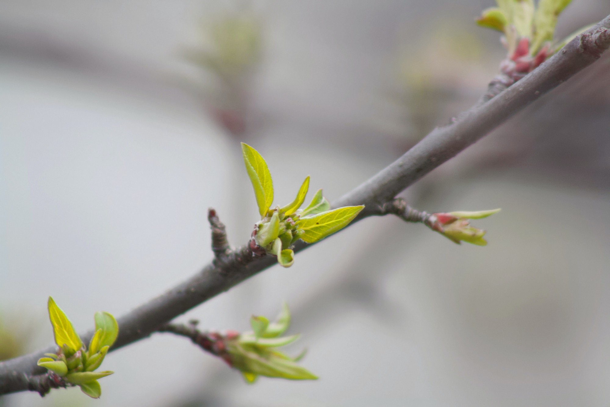 A tree branch shows the first sign of green spring leaves.