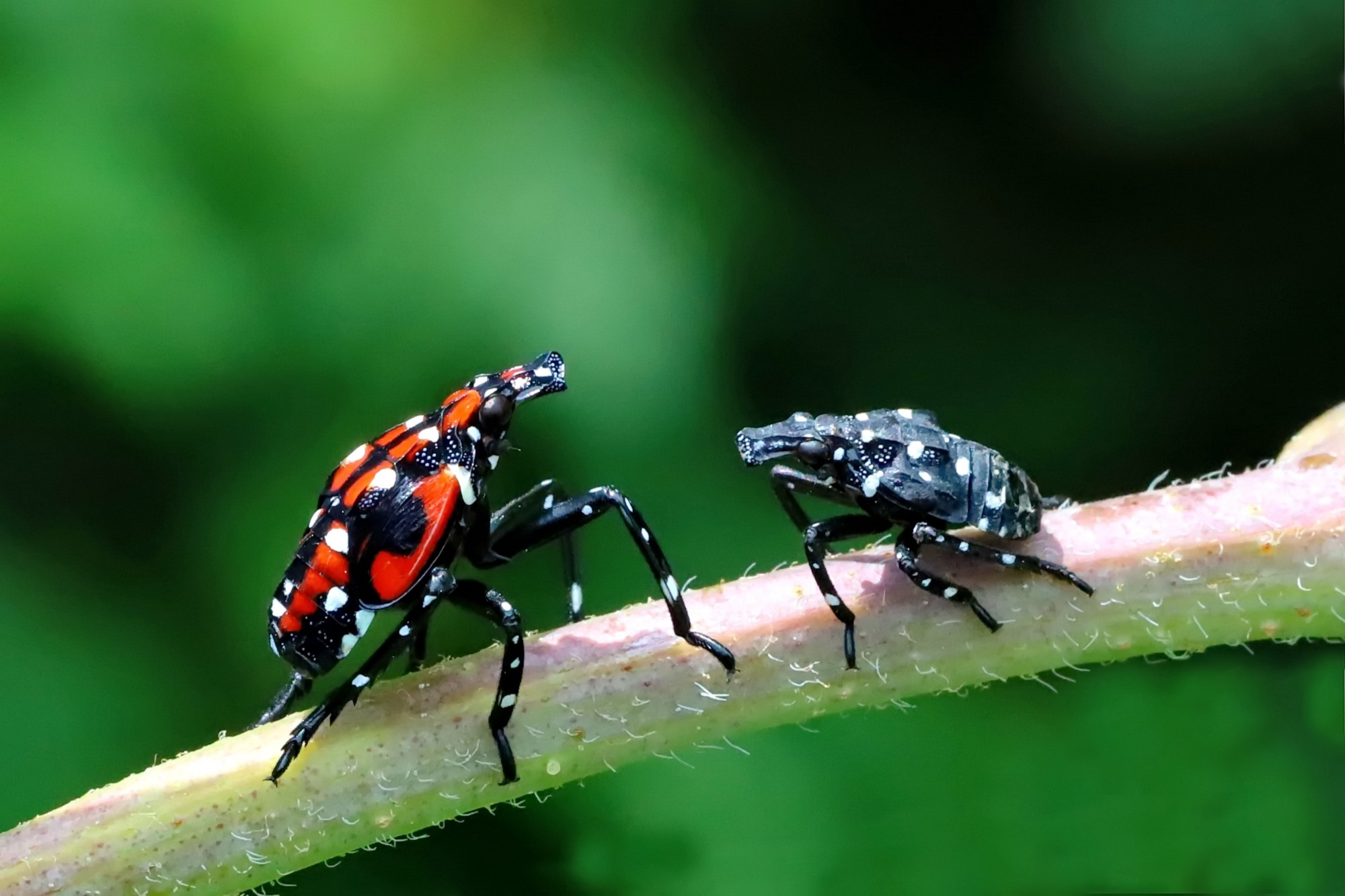 two black, spotted insects on a twig, one on the left has red markings and is larger