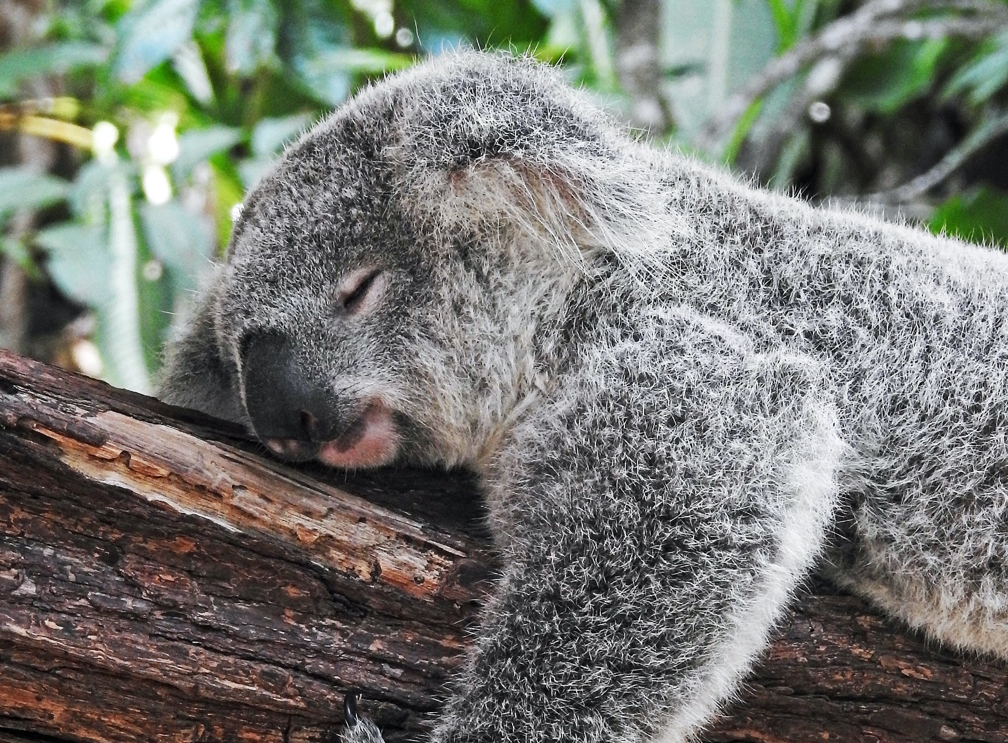 Sleeping koala. He's awake 3 years of his life. 4 hours less sleep a day means 6 years of consciousness