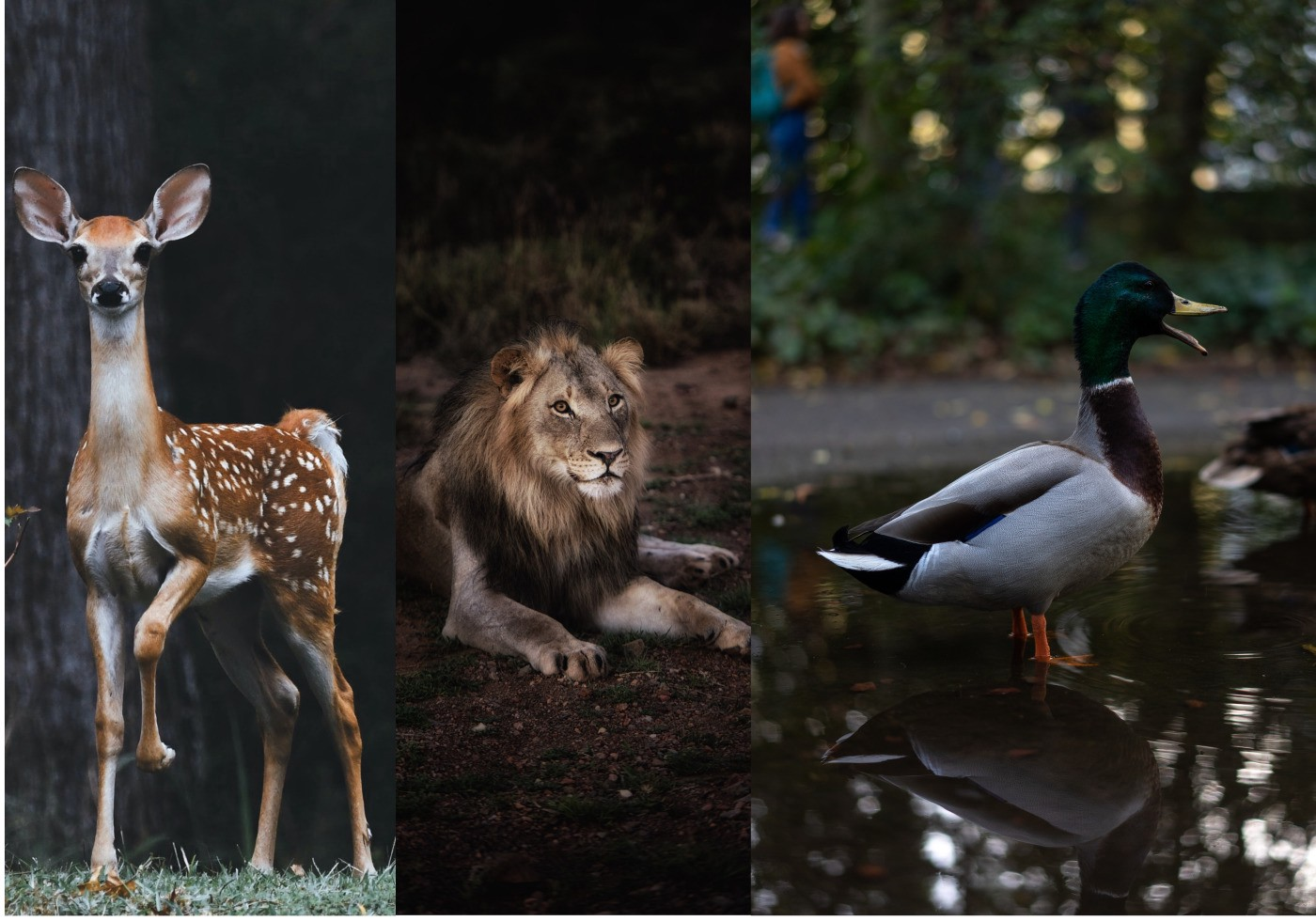 Image of a Deer, lion and Duck
