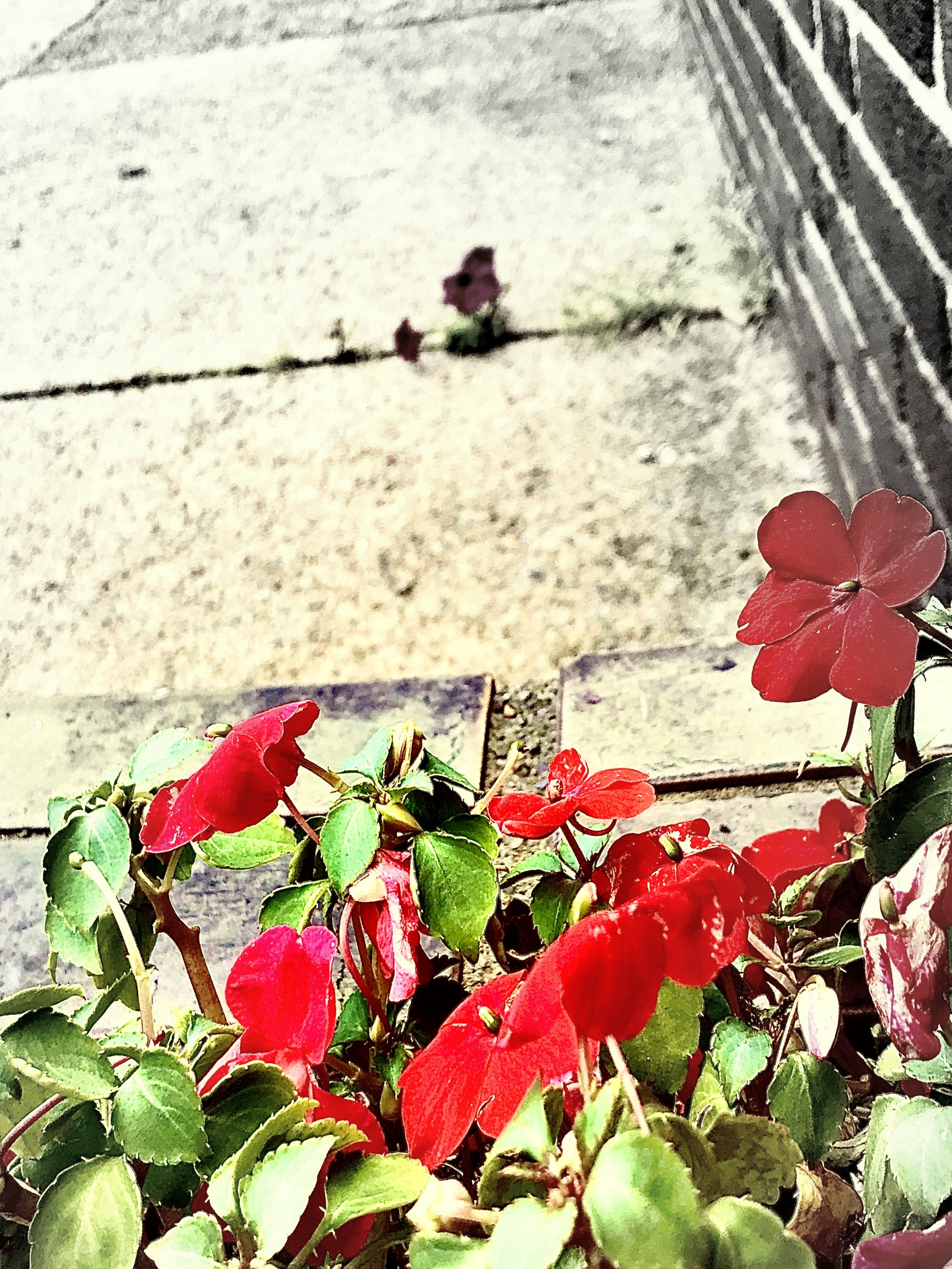 Photograph of a sidewalk flower box with red petunias the flowers are colored and the rest of the picture is black and white.