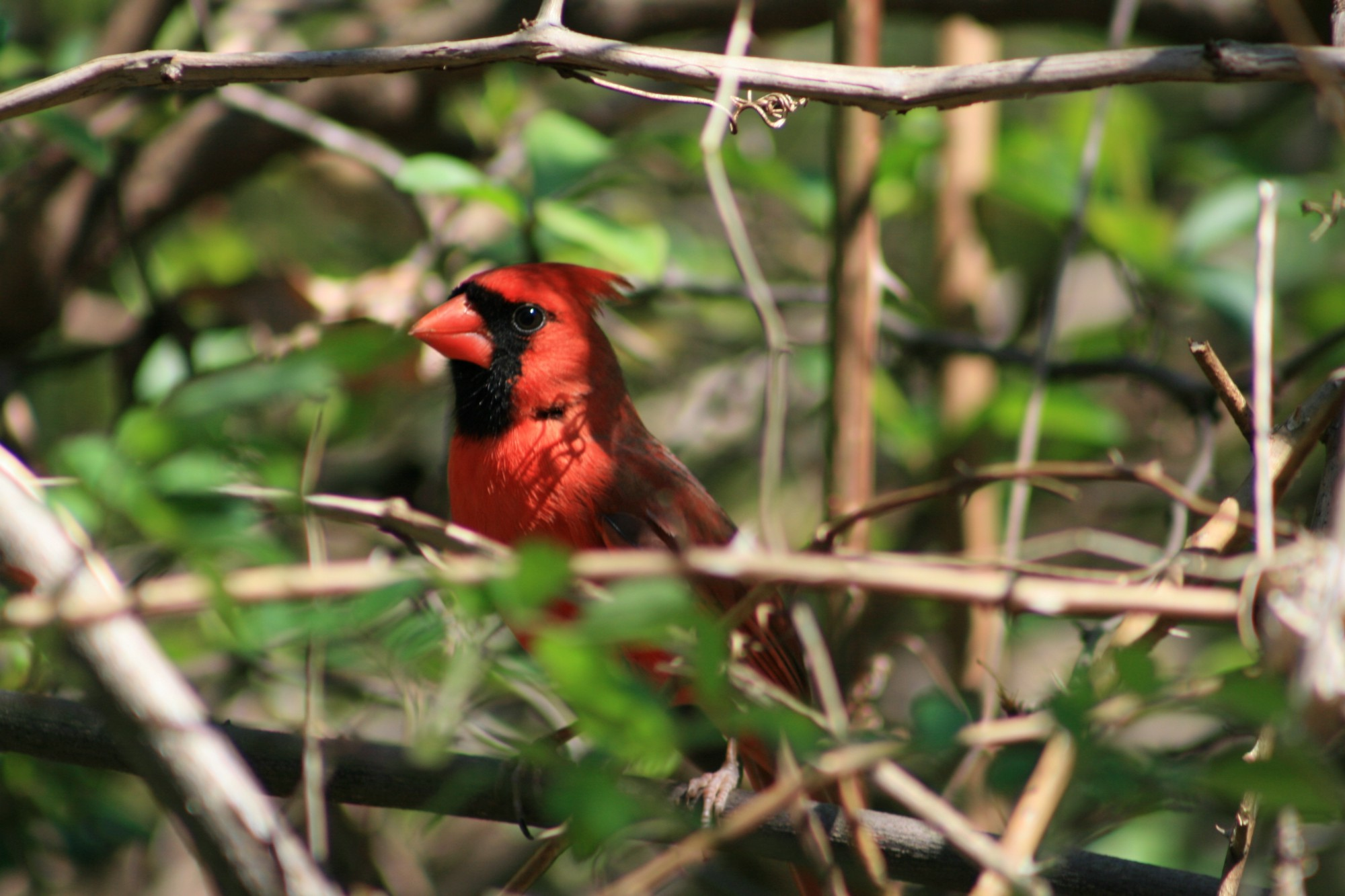 Red male cardinal.