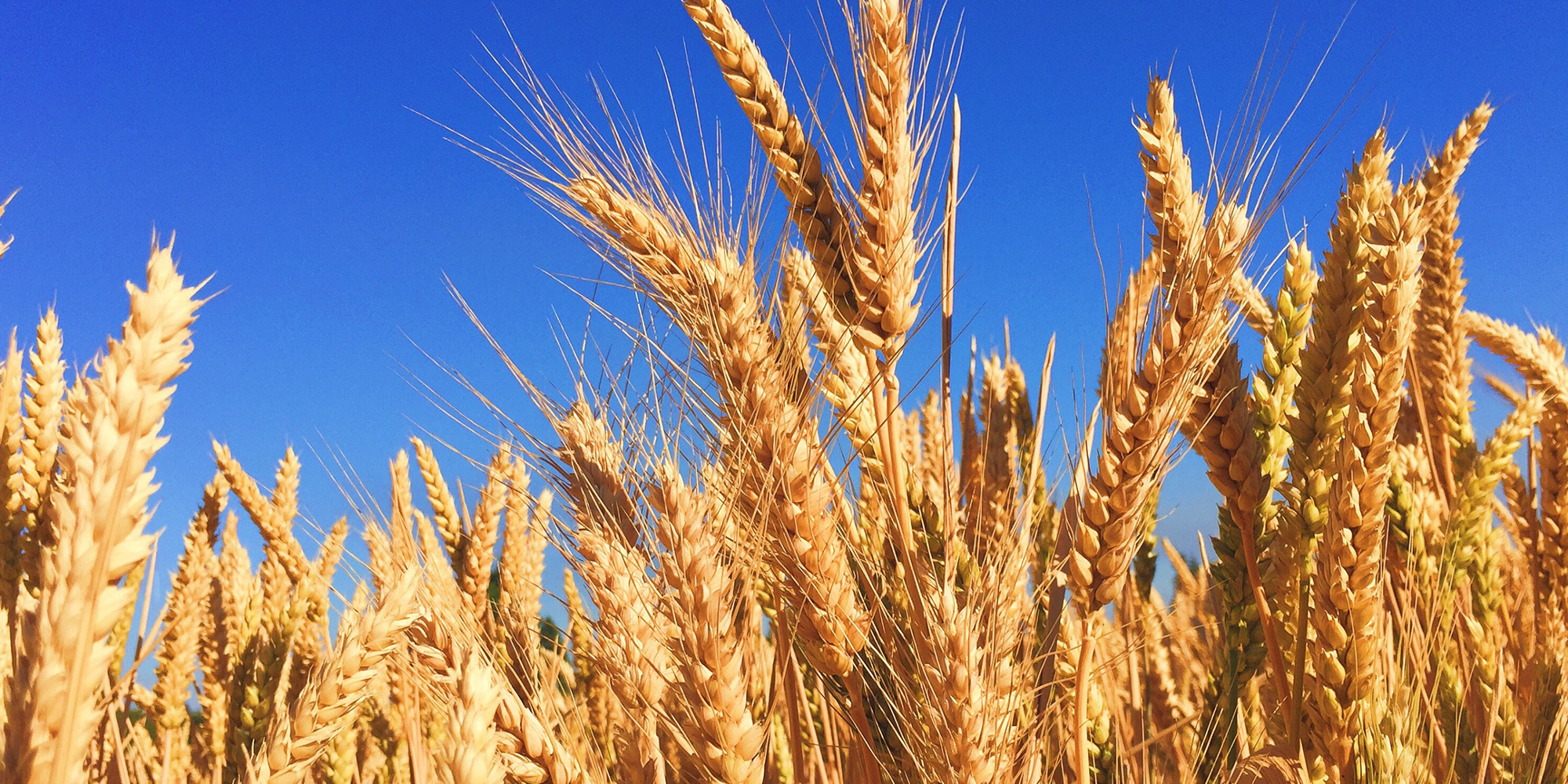 Inflammation through wheat, barley, and oats - Boosted ...