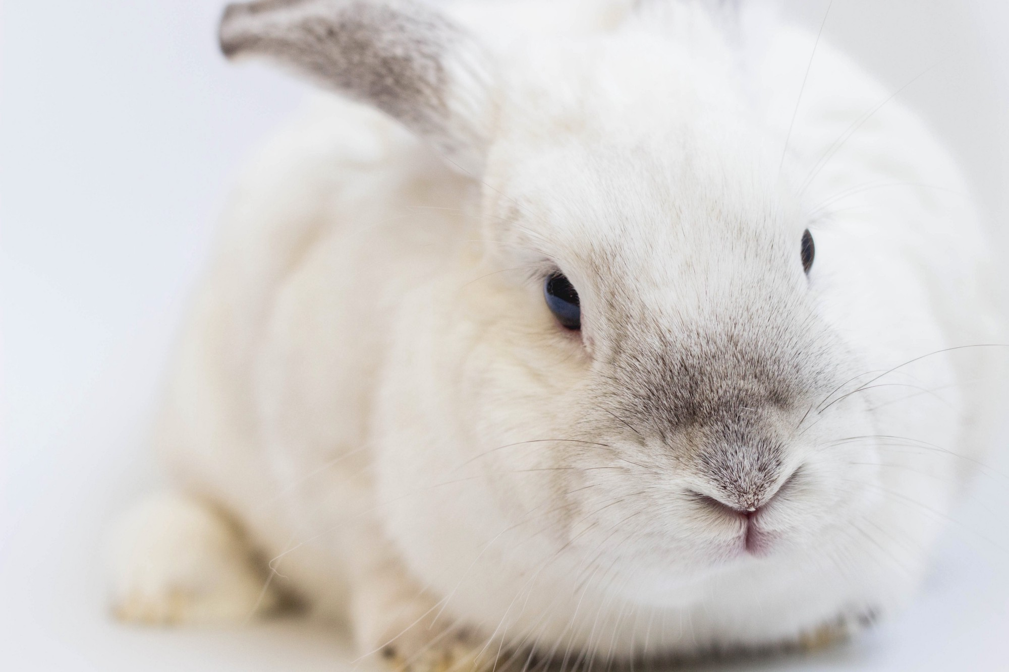 A fluffy white bunny's face fills the screen