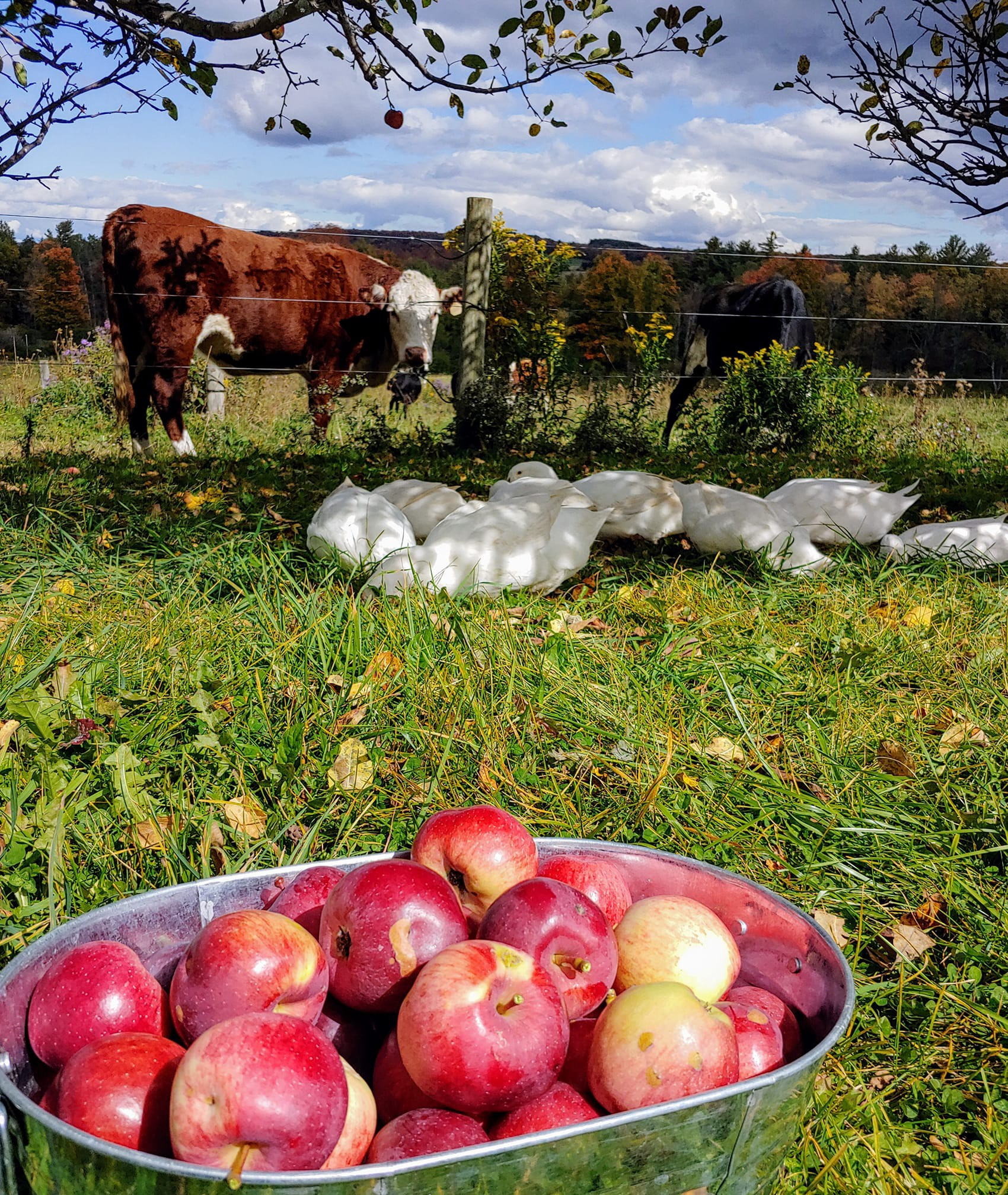 Bin full of apples in front of ducks and cows on a homestead