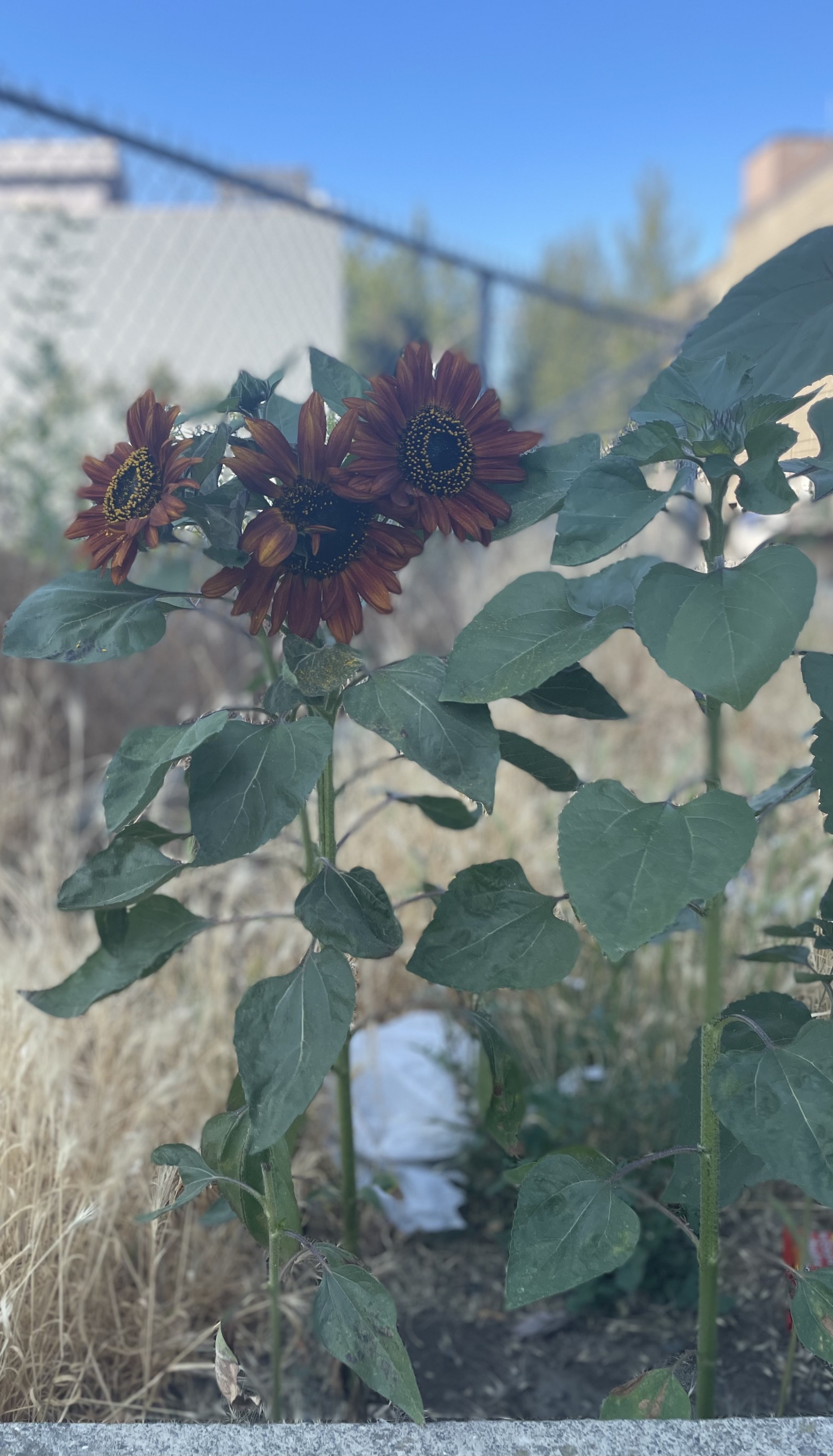 Sunflowers growing out of streetcorner
