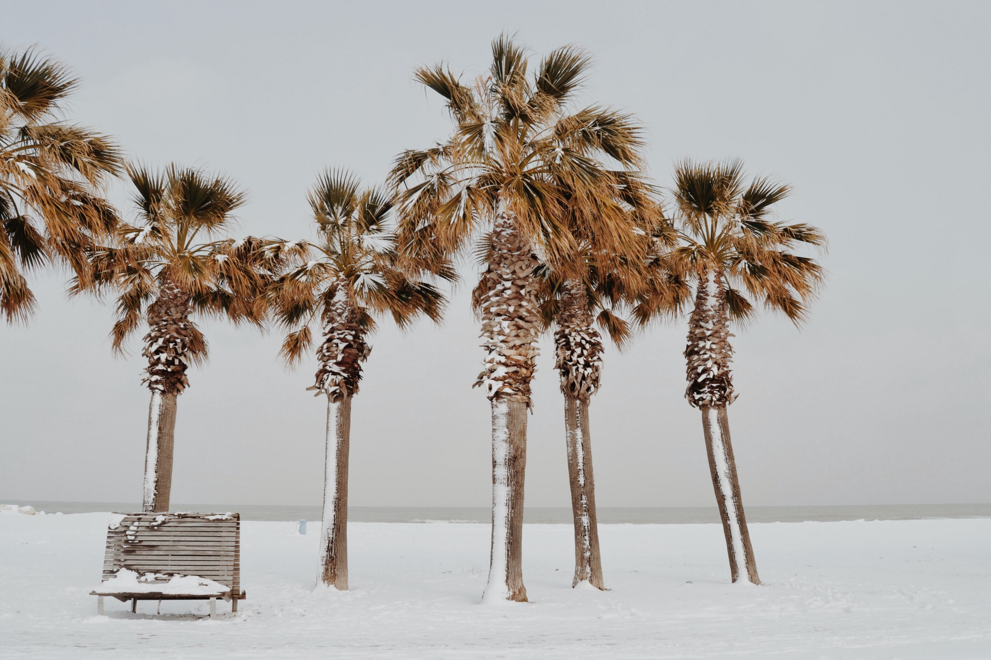 A bench under a stand of palm trees with snow covering the ground and deposited on bench and trees.