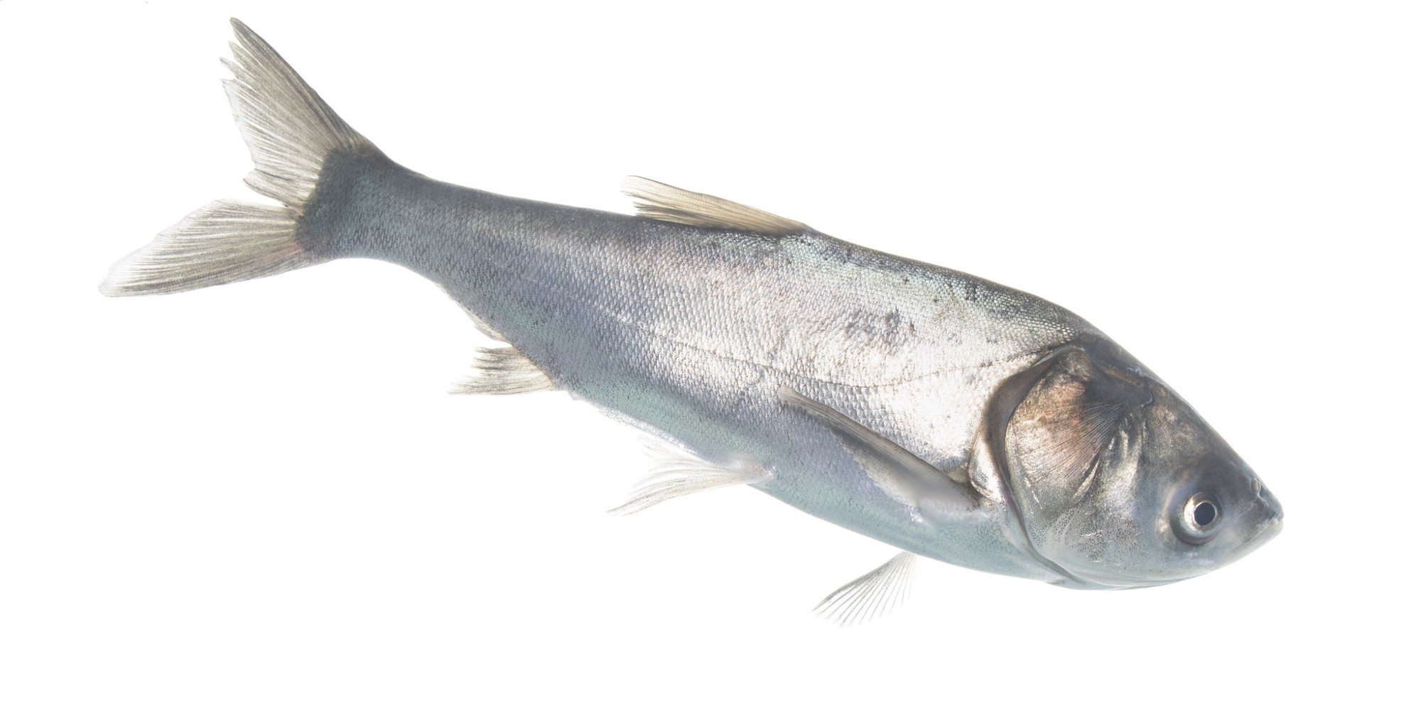 Silver carp with white background