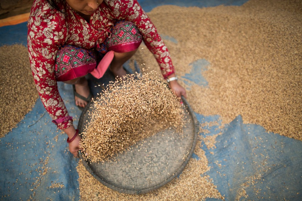 Parvati Poudel dries rice outside of her home in the Bhakarjung area of Nepal.