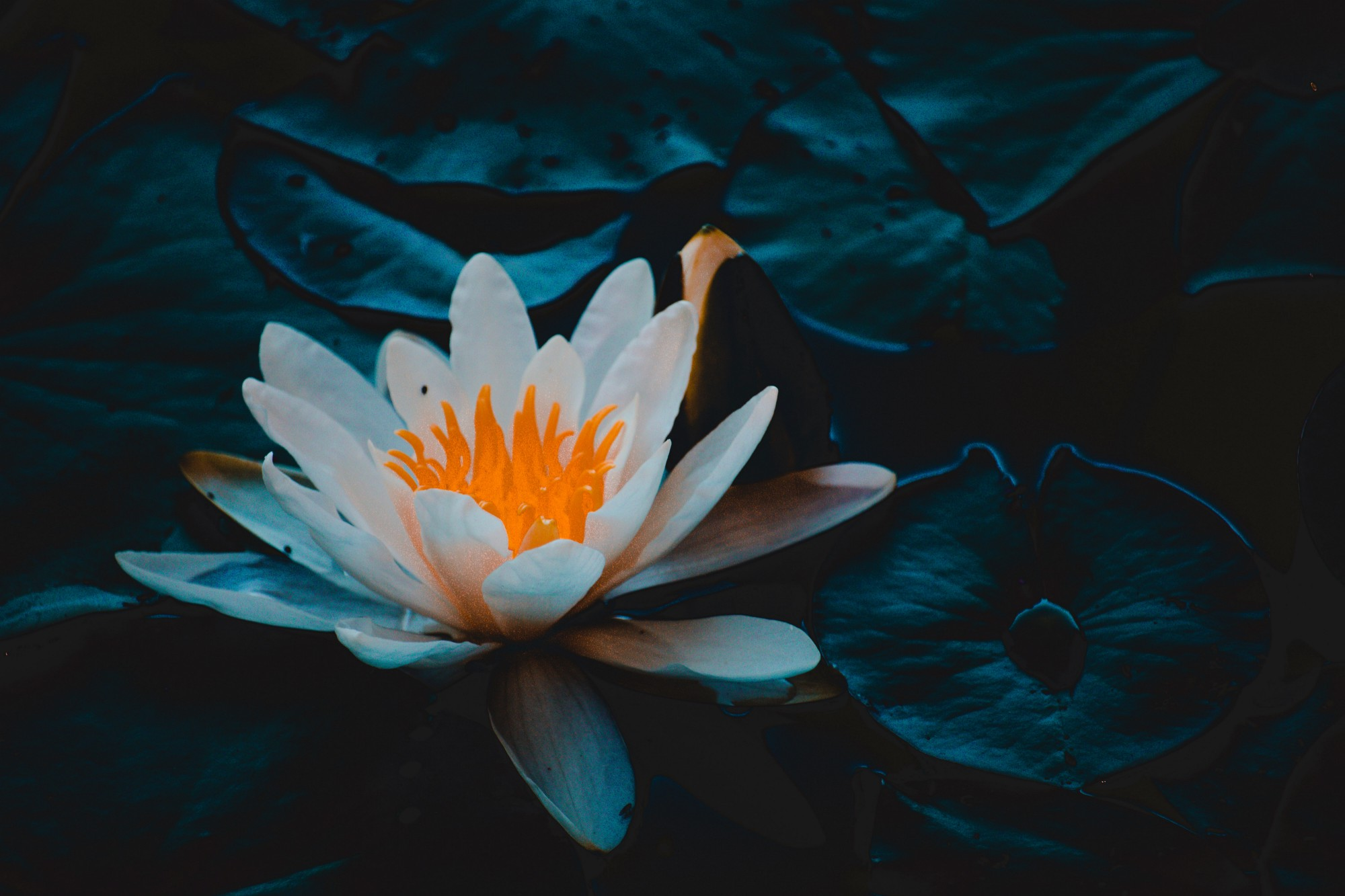 Image of a white water lily with orange center on a dark blue watery background