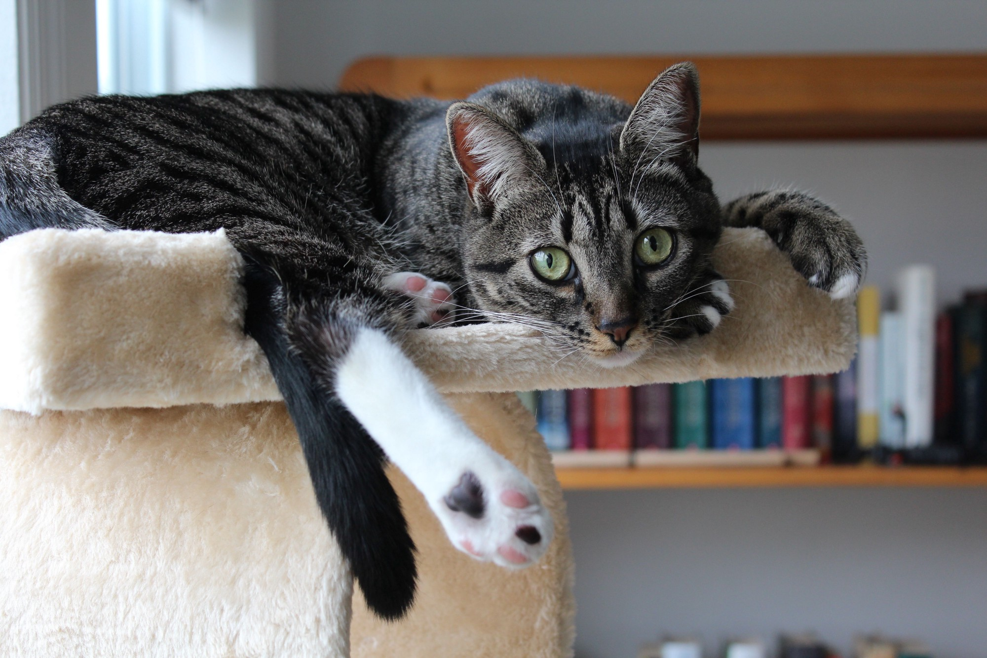 The cutest tabby cat you've ever seen sitting atop her cat tree staring into the camera.