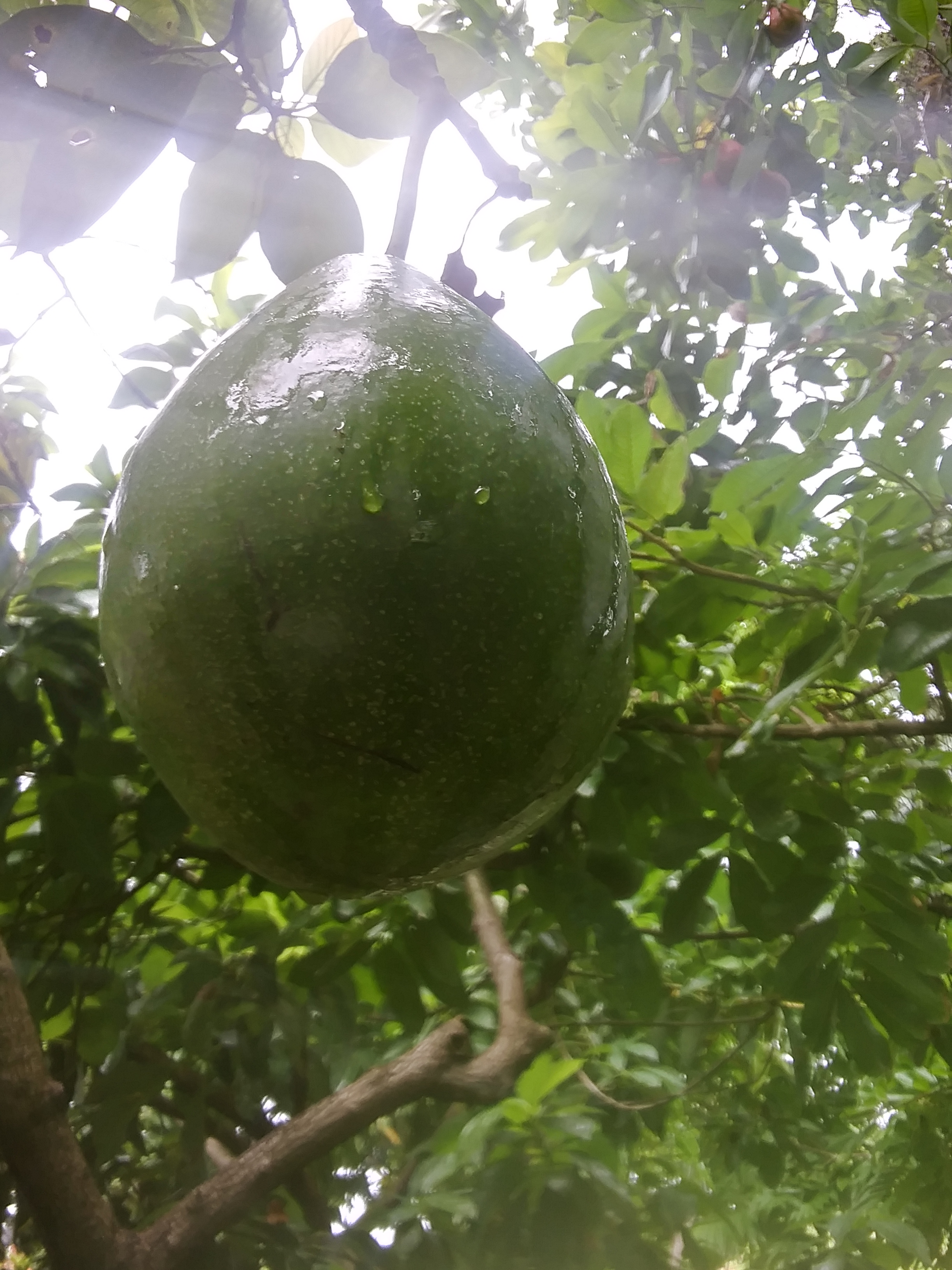 beautiful avocado fruit hanging from a tree with droplets from recent rain visible on the skin