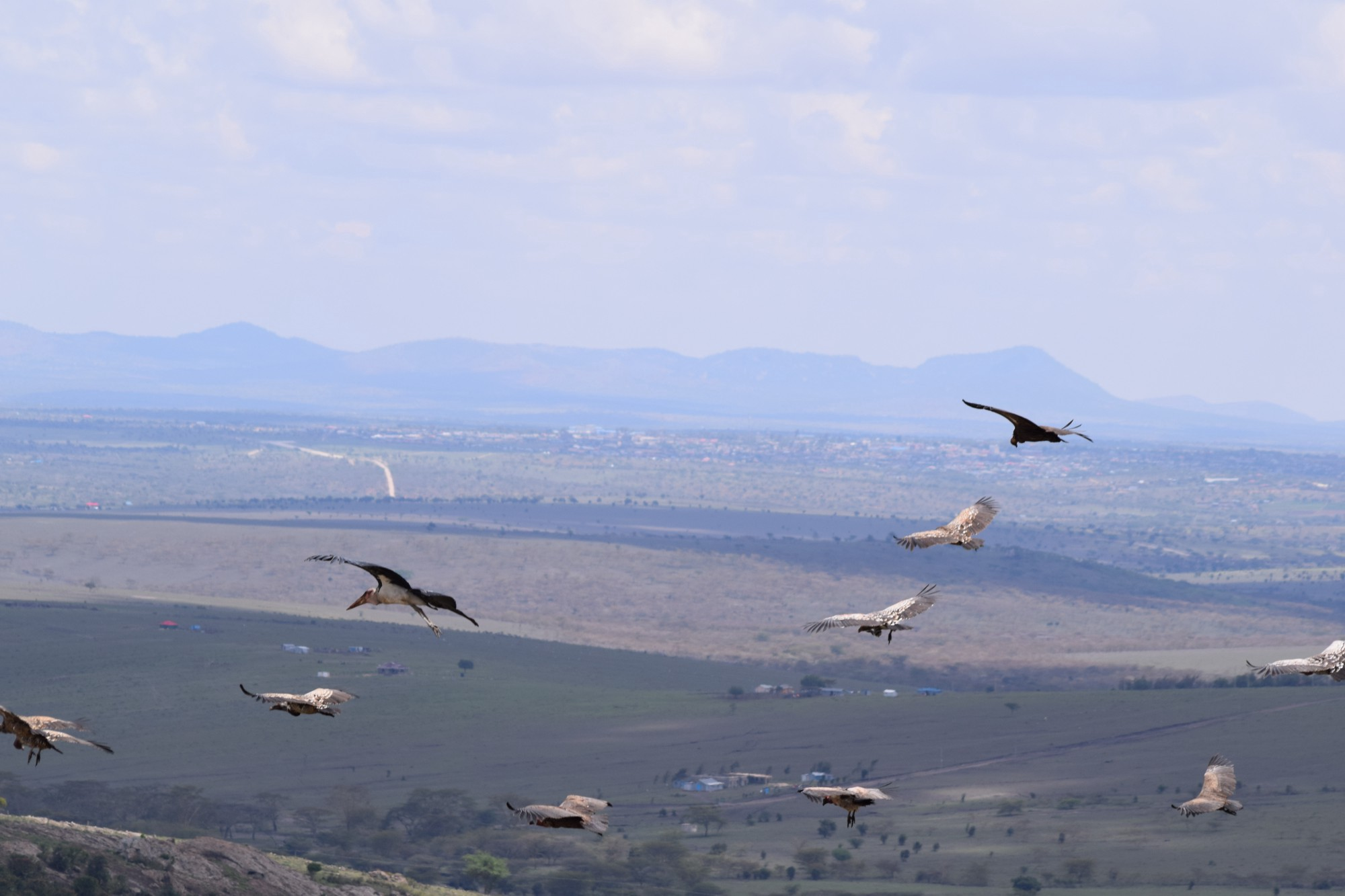 Vultures and a Marabou stork descend to feed at Kipeto