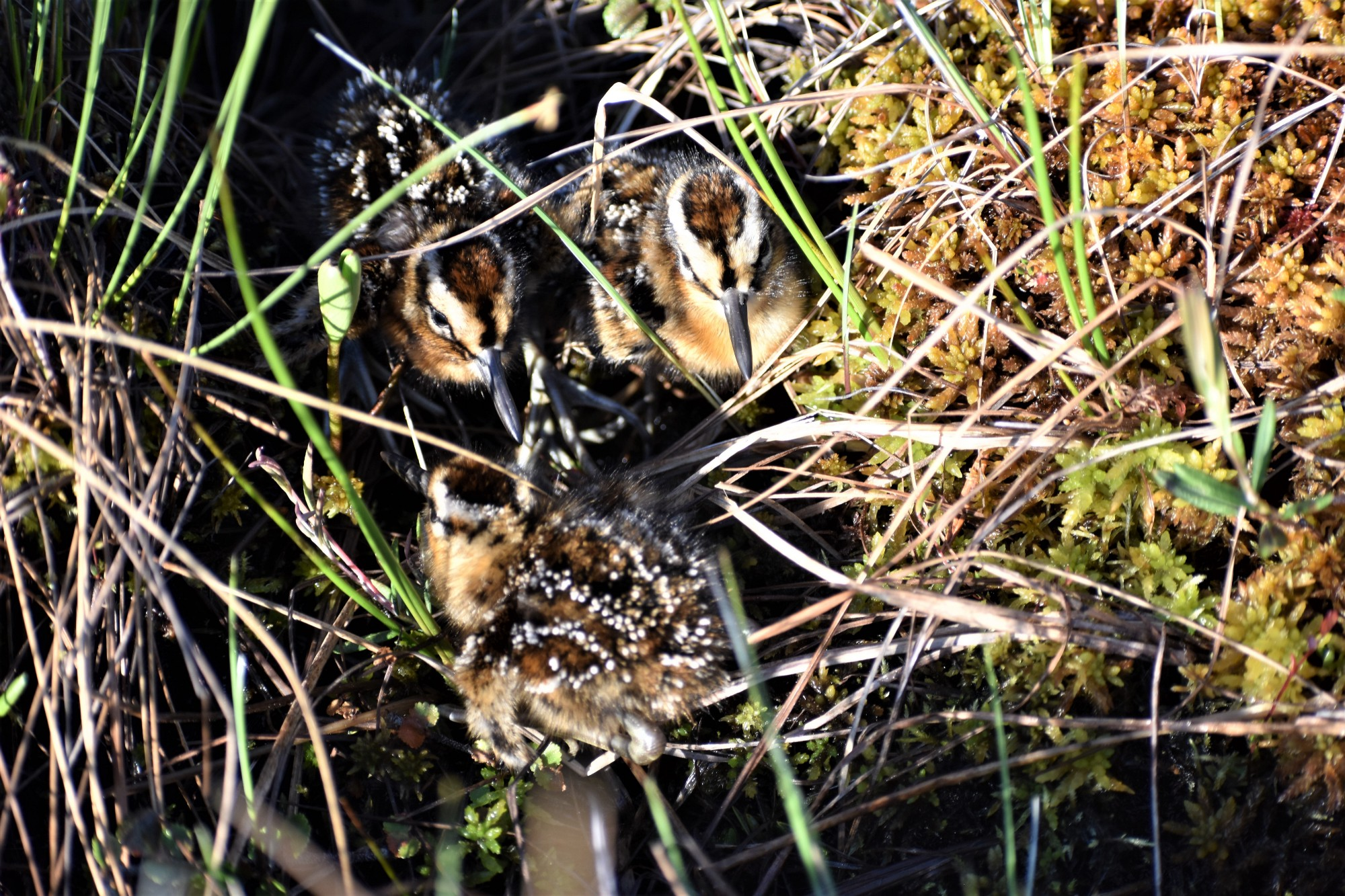 Dowitcher chicks at the edge of a tundra pond