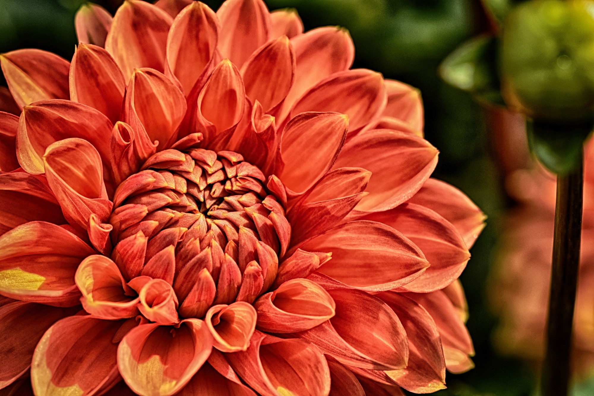 Closeup photo of open, bright orange dahlia.