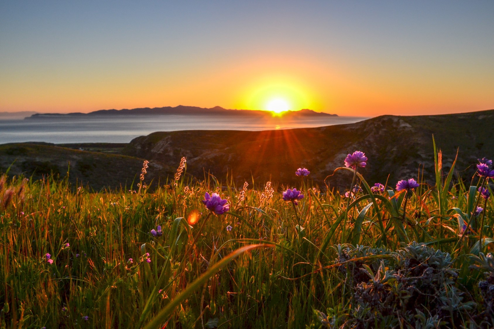 sunset over an ocean with purple lupine in the foreground