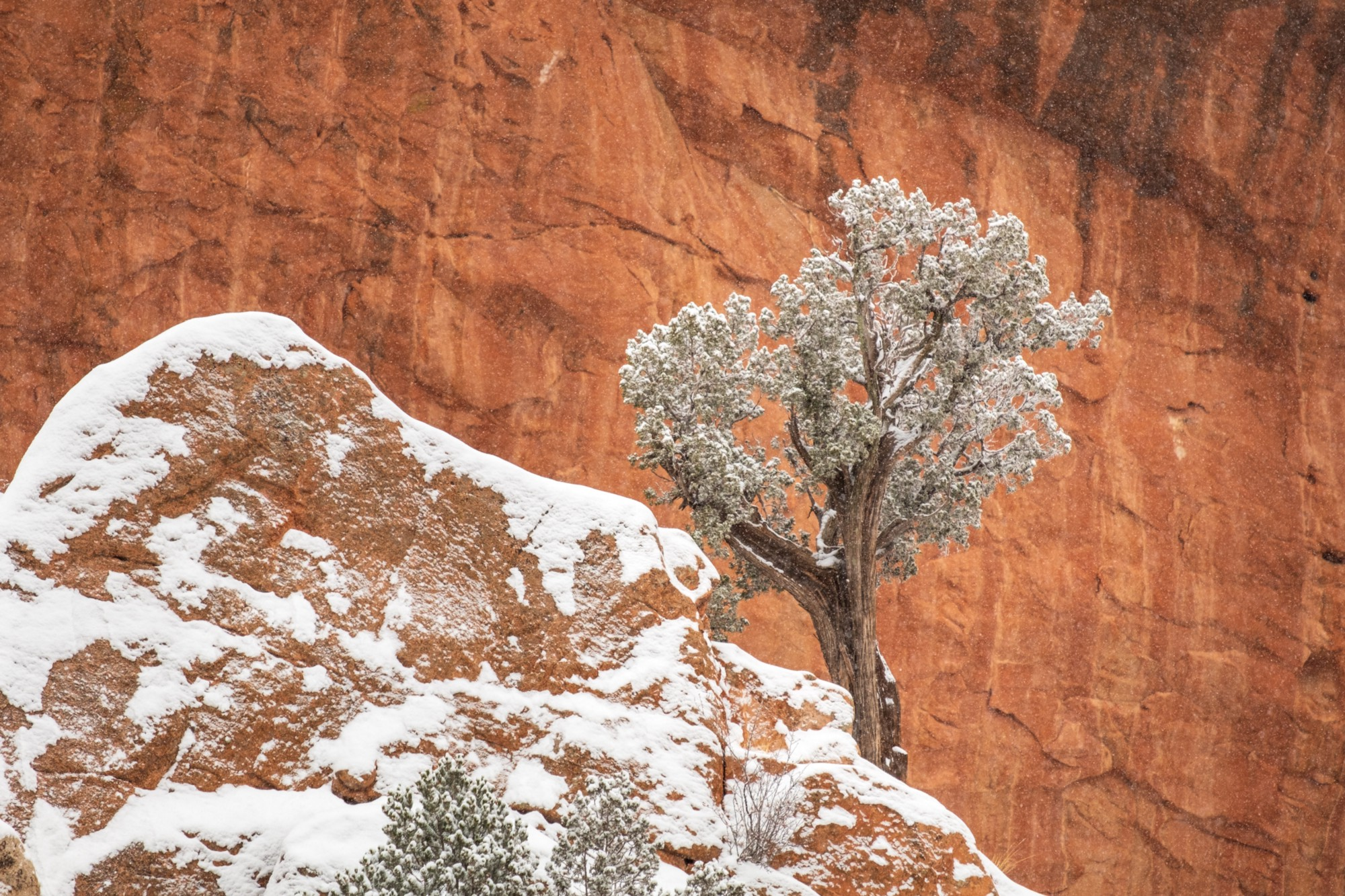 A tree against red rocks in a snowstorm.