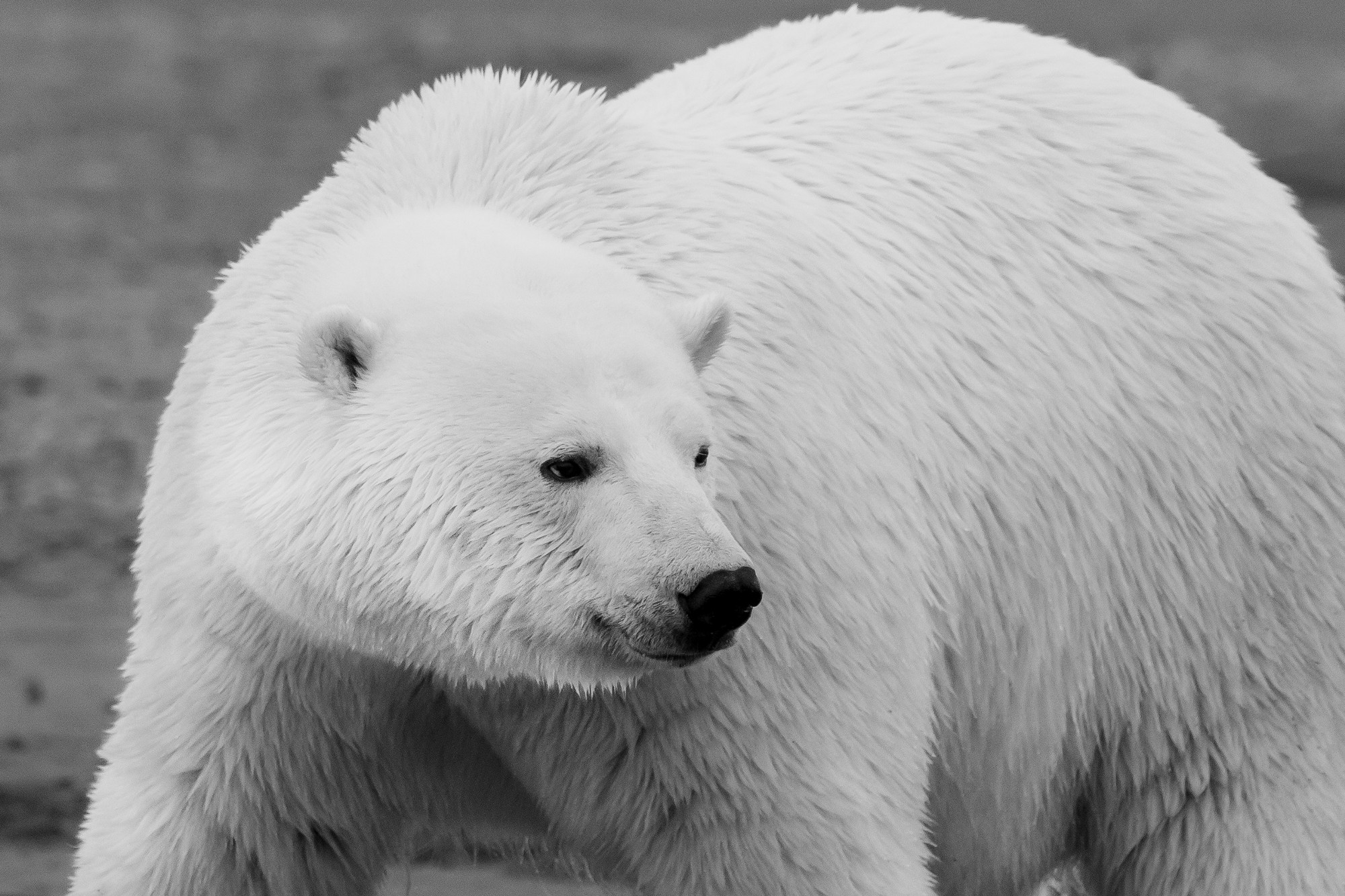Close up black and white image of a polar bear with head turned toward the side.