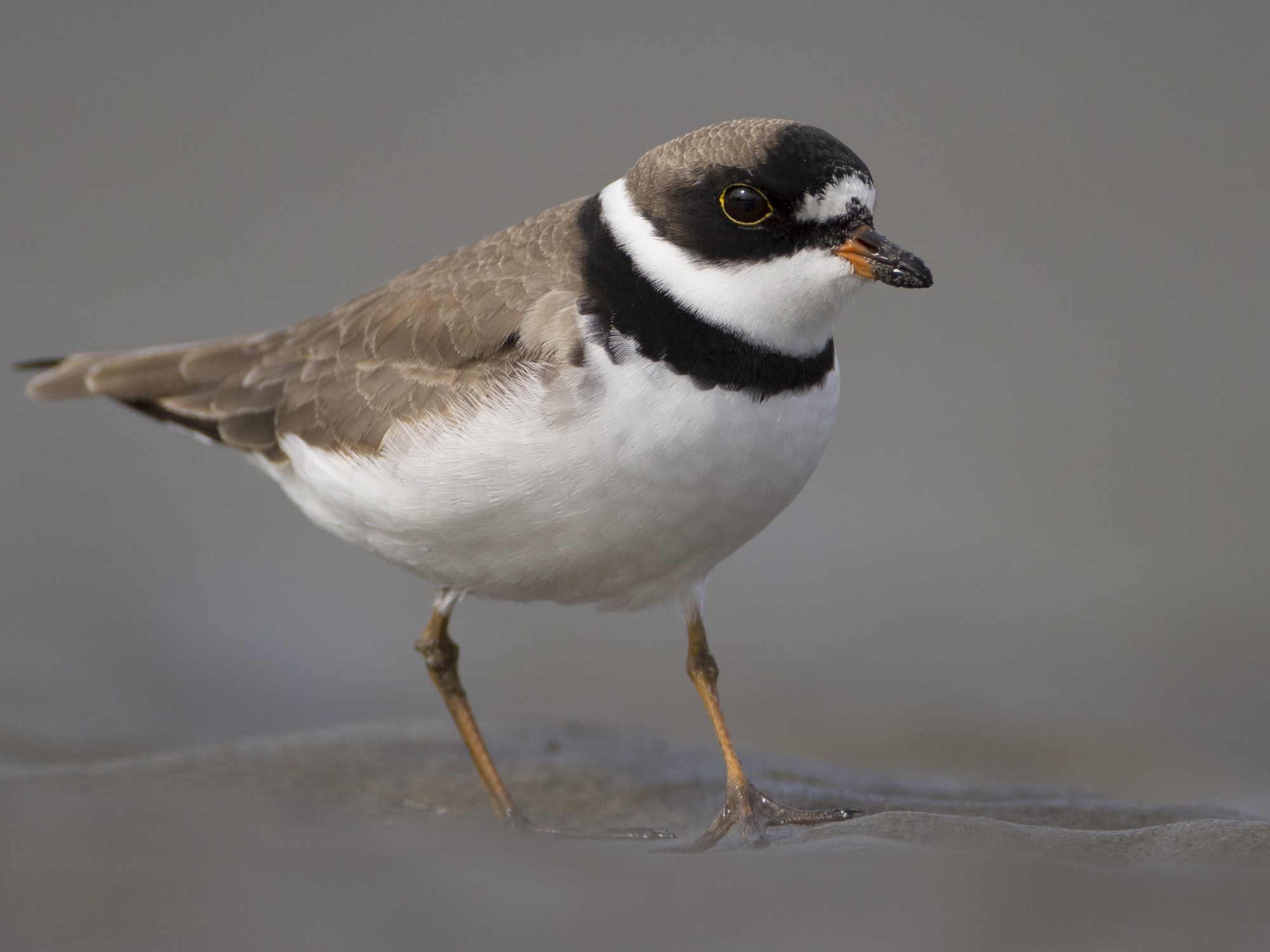 Close-up of a Semipalmated Plover