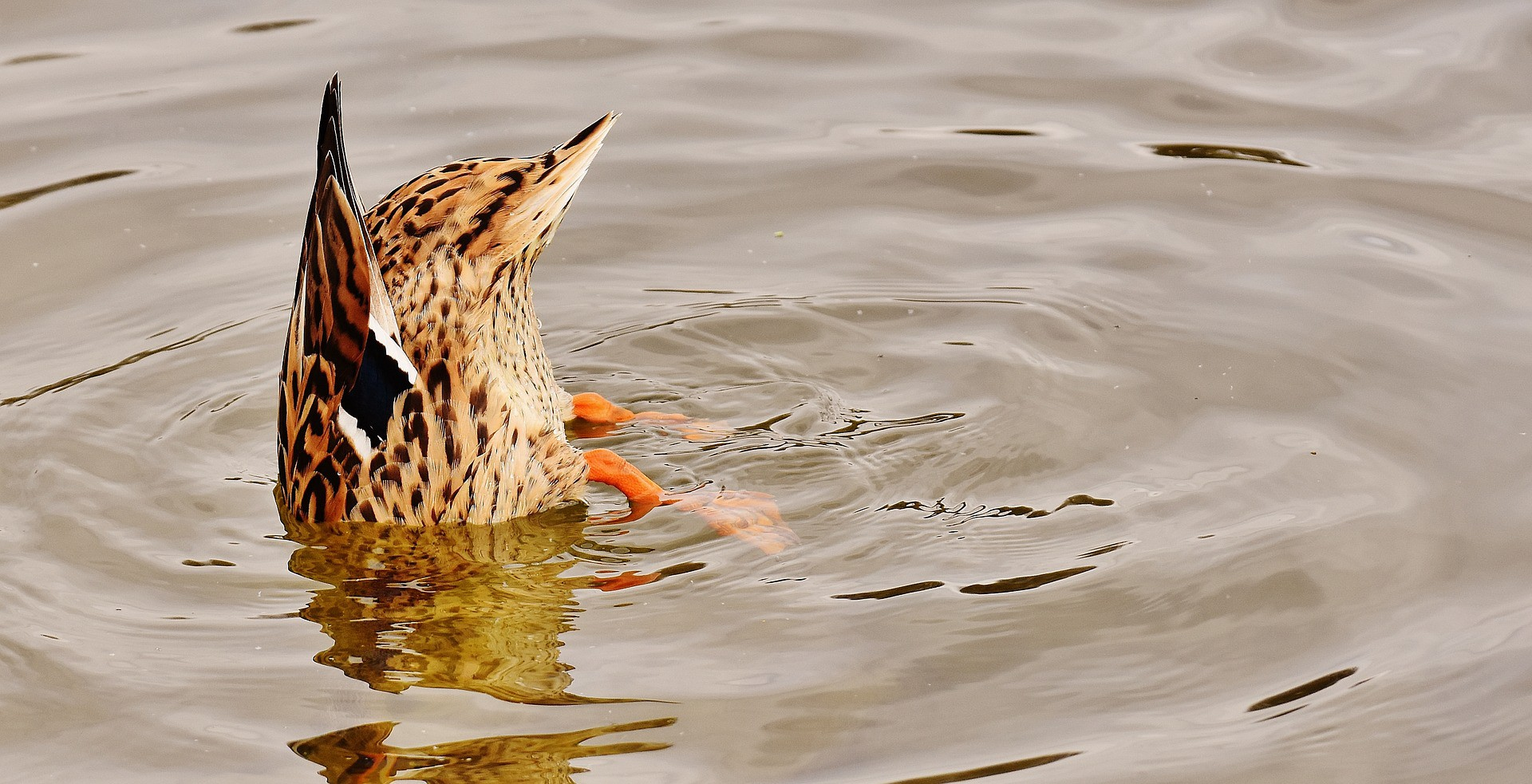 The tail end of a diving duck sticks out of the water, with orange feet visible under the water, keeping her upended.