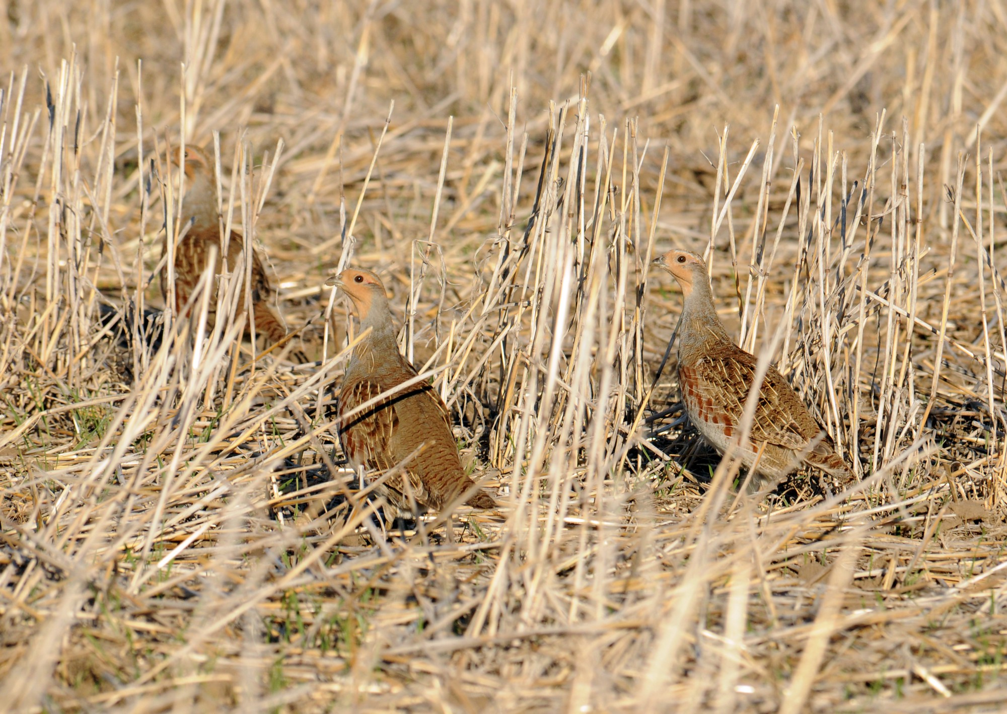 Three gray partridge look around warily in a farm field.