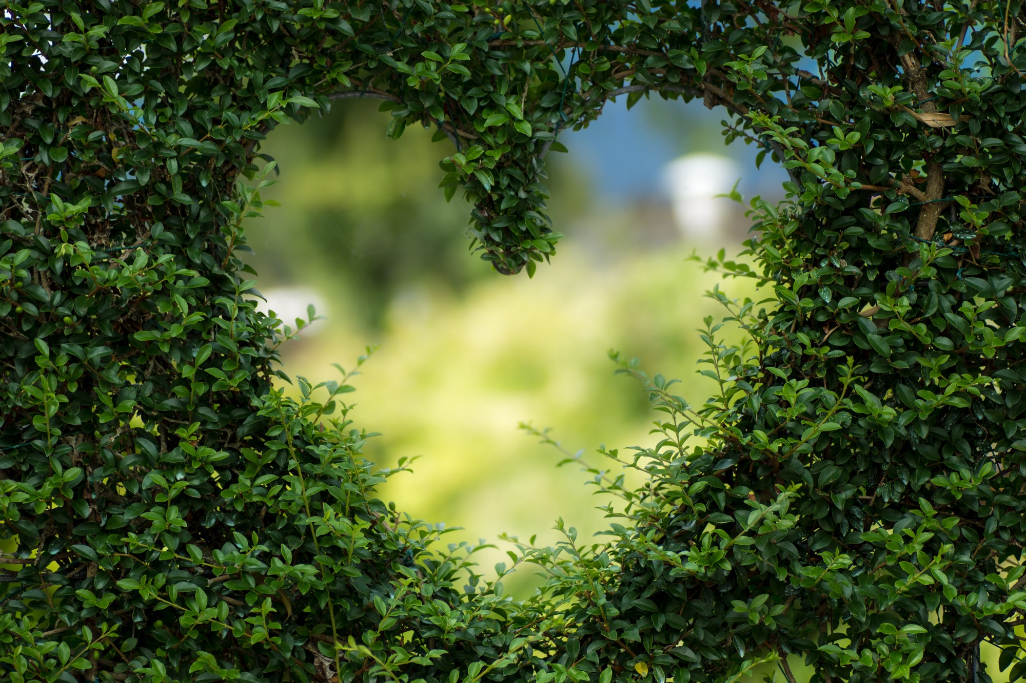 Picture of a green hedge with a heart cut out of it so that you can look through the heart hole.