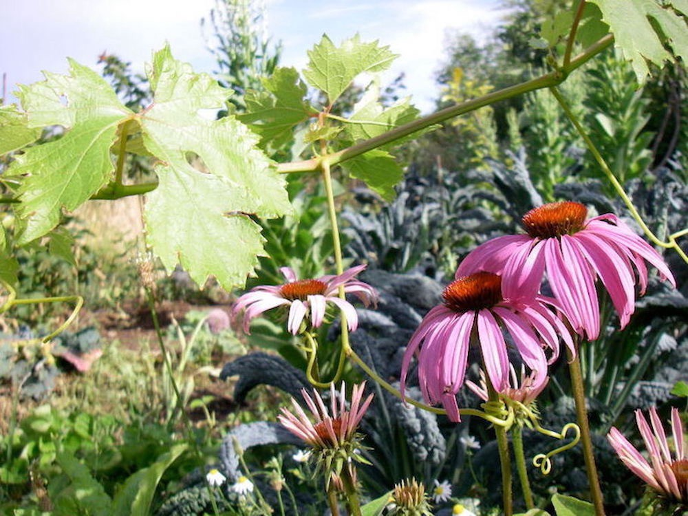 Echinacea, kale and grapes growing together