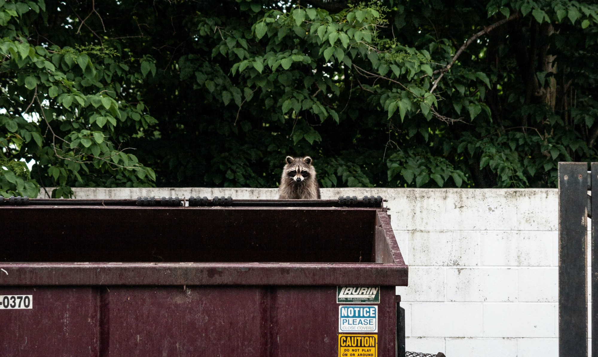a racoon peering over a large garbage bin