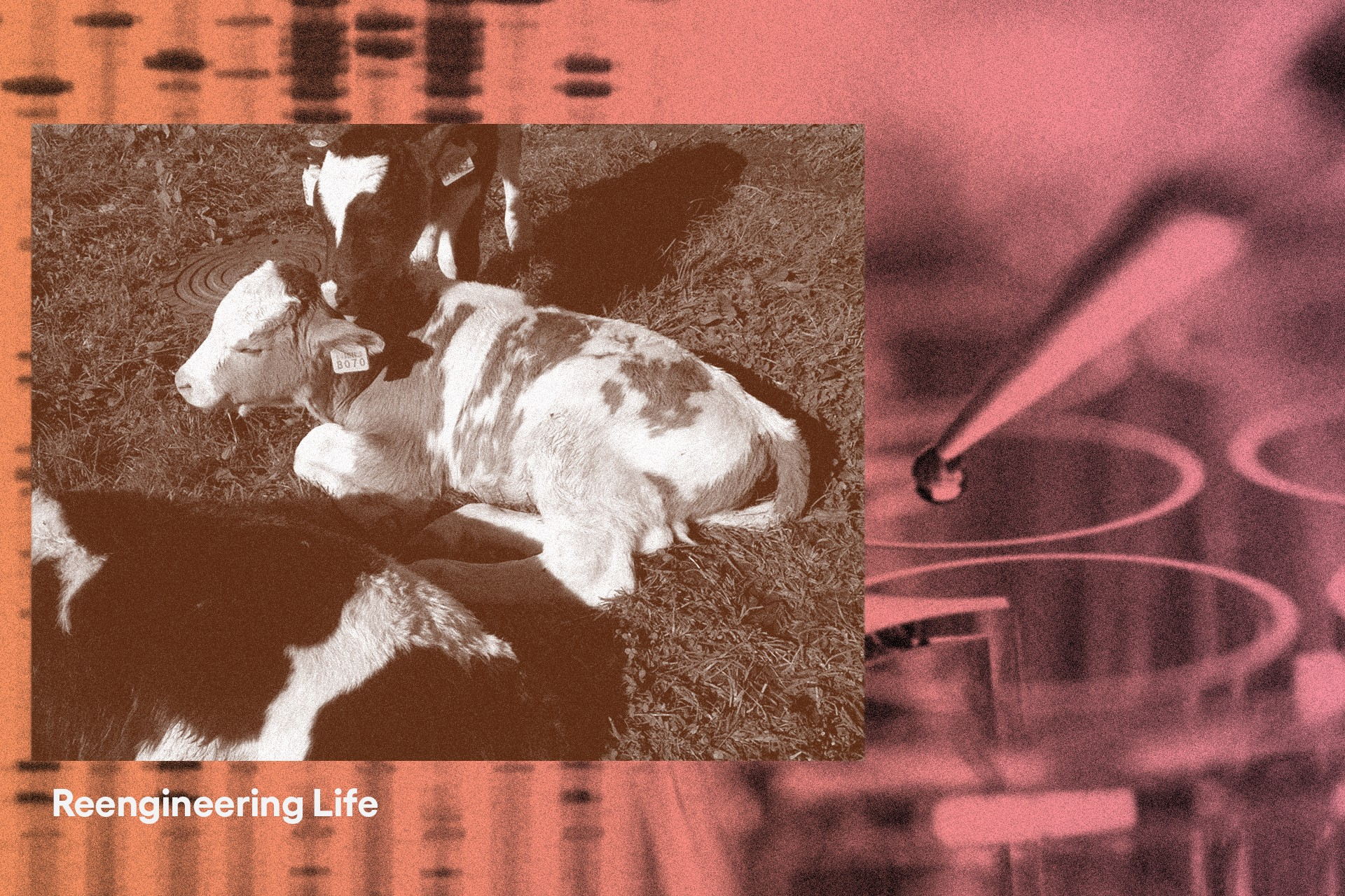 Photo illustration of pipette in background with cows in foreground.