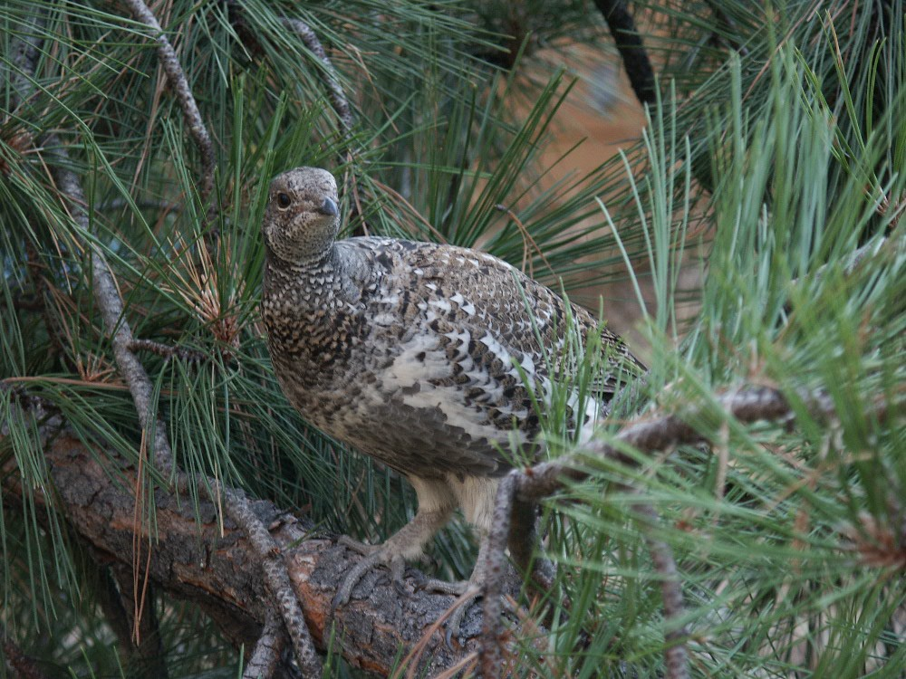 A hen blue grouse perches on a pine branch