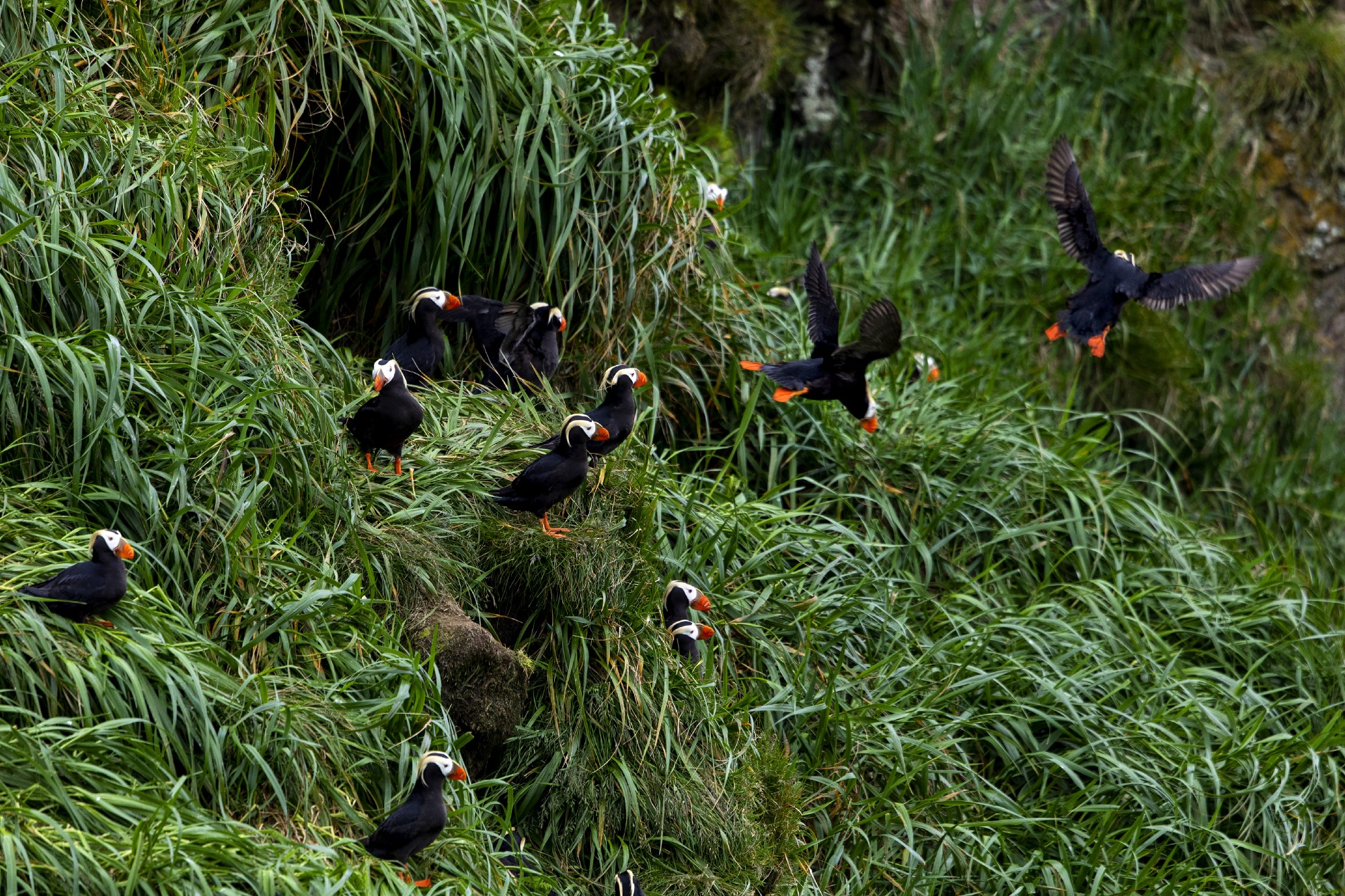 A grassy slope with several openings into burrows, and many tufted puffins sitting outside or in flight.