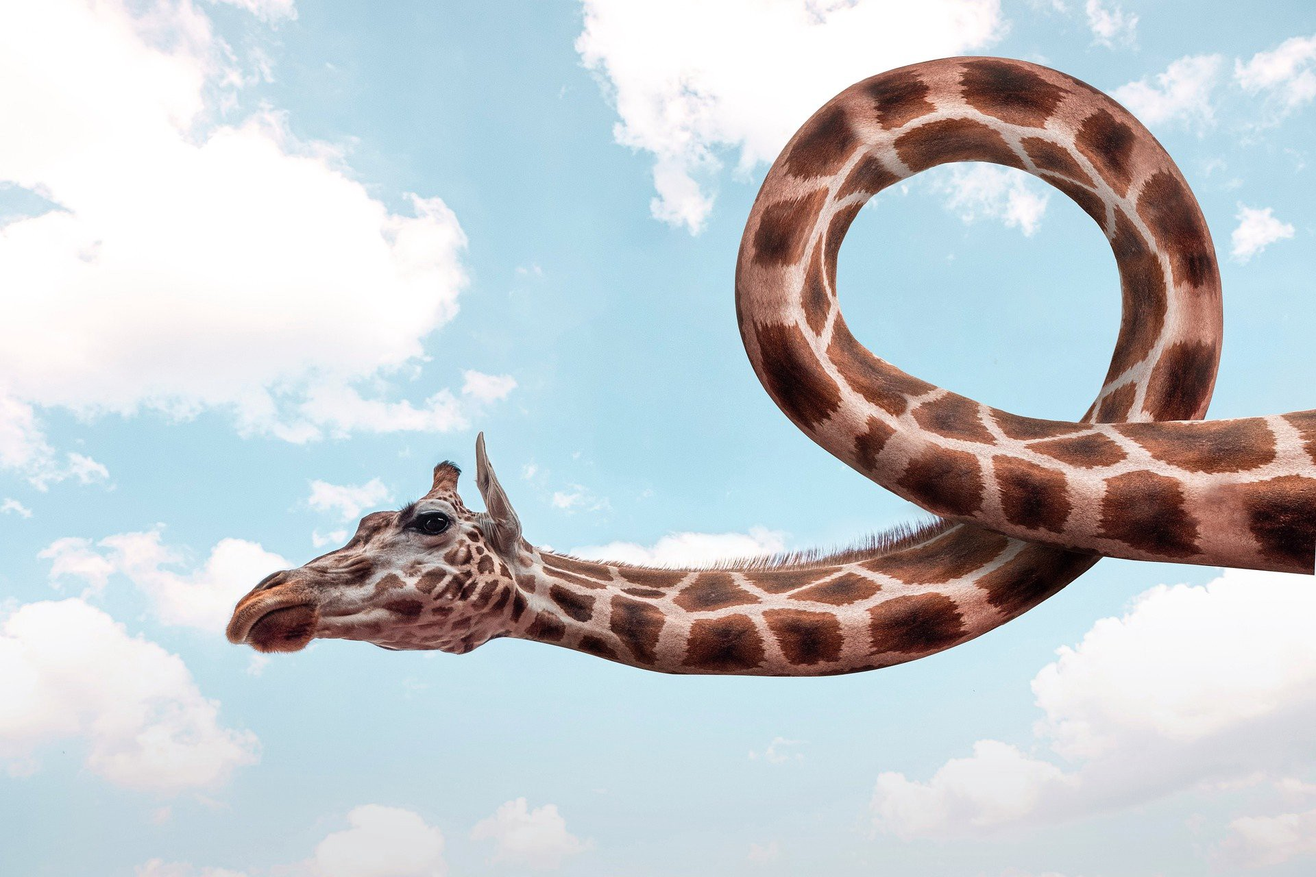 Giraffe with twisted neck