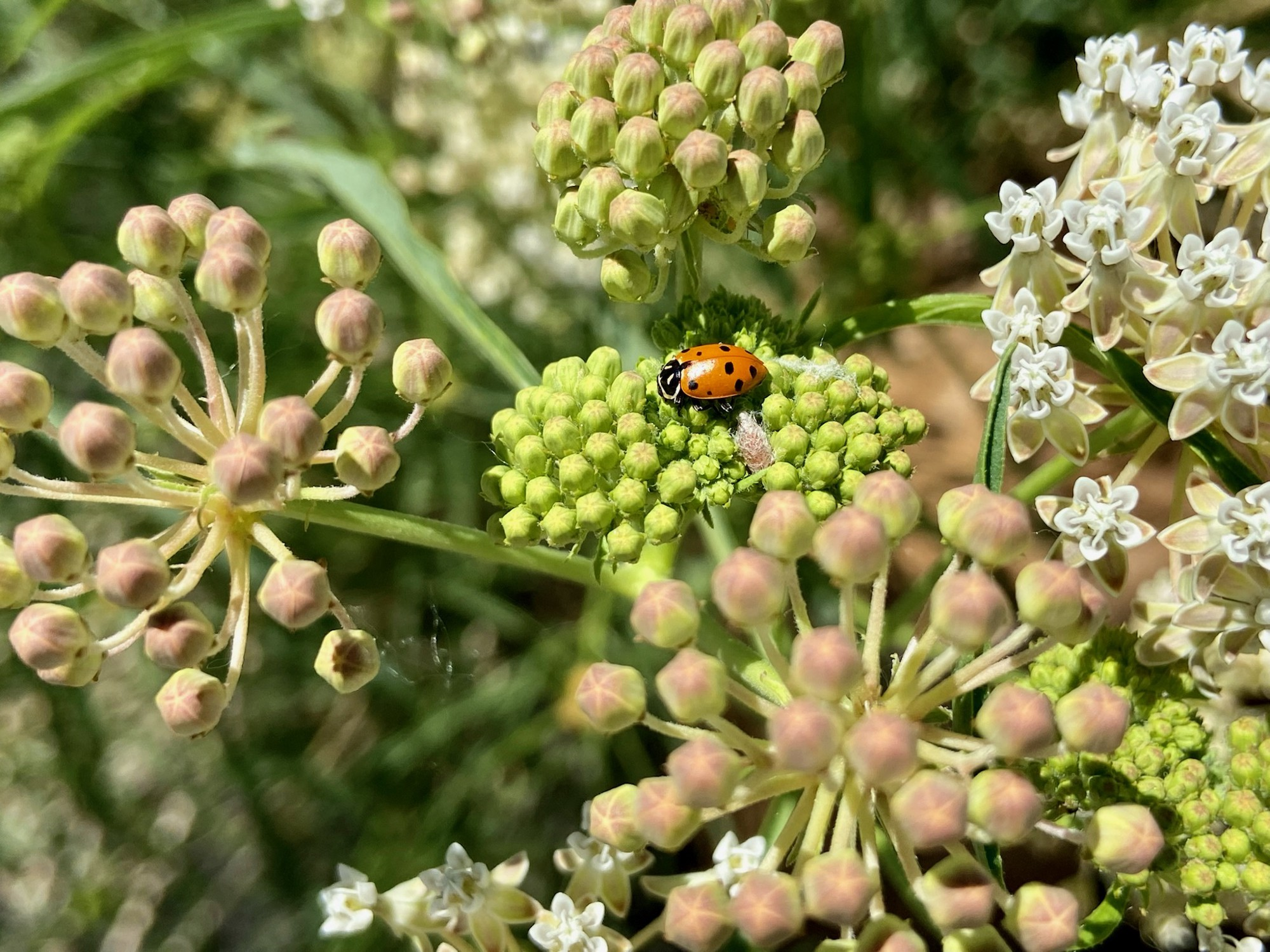 A bright red and black ladybug sitting on a milkweed plant.