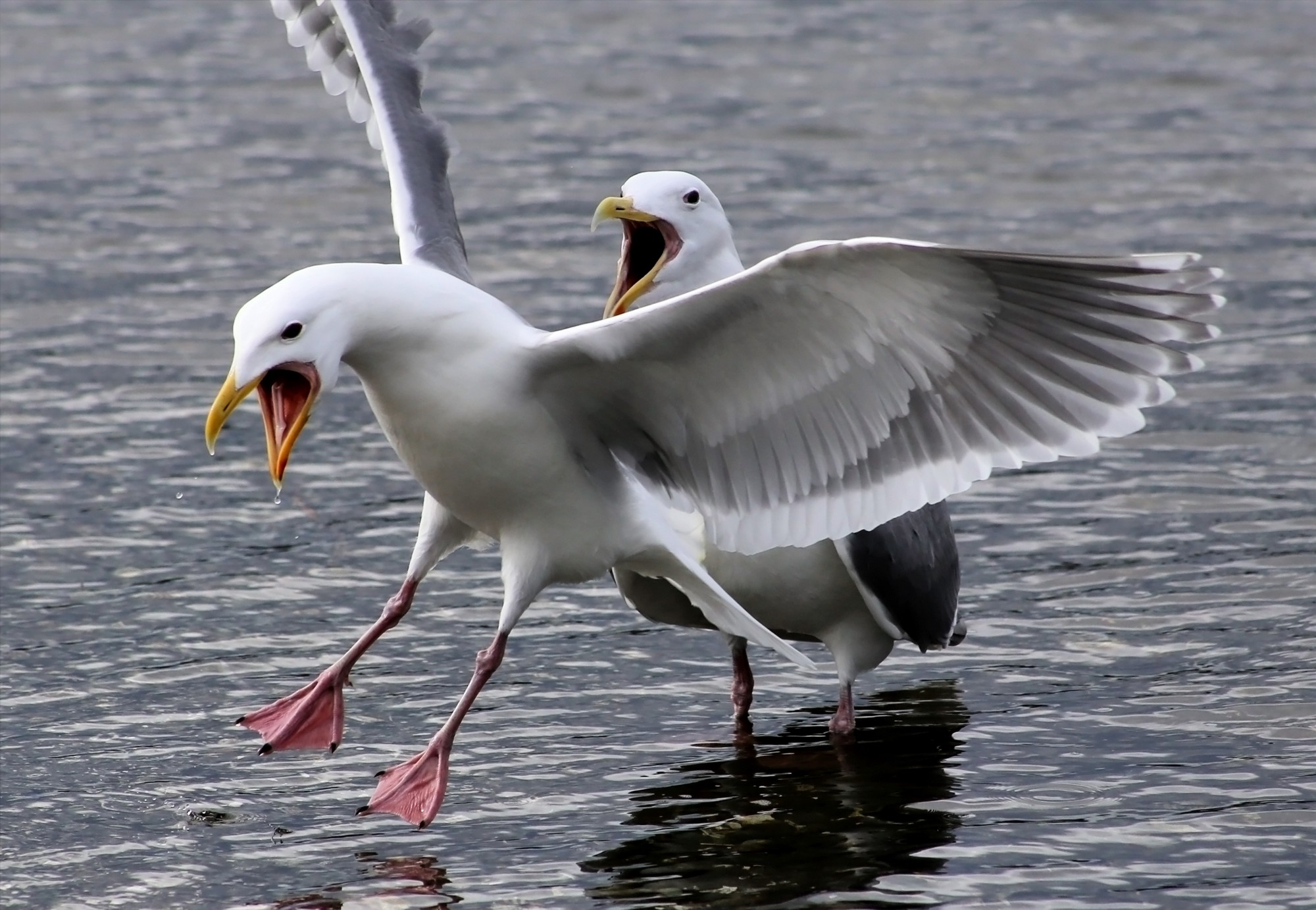 Two seagulls calling