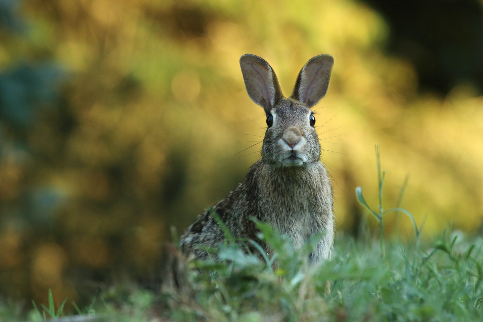 An alert rabbit in a grassy field