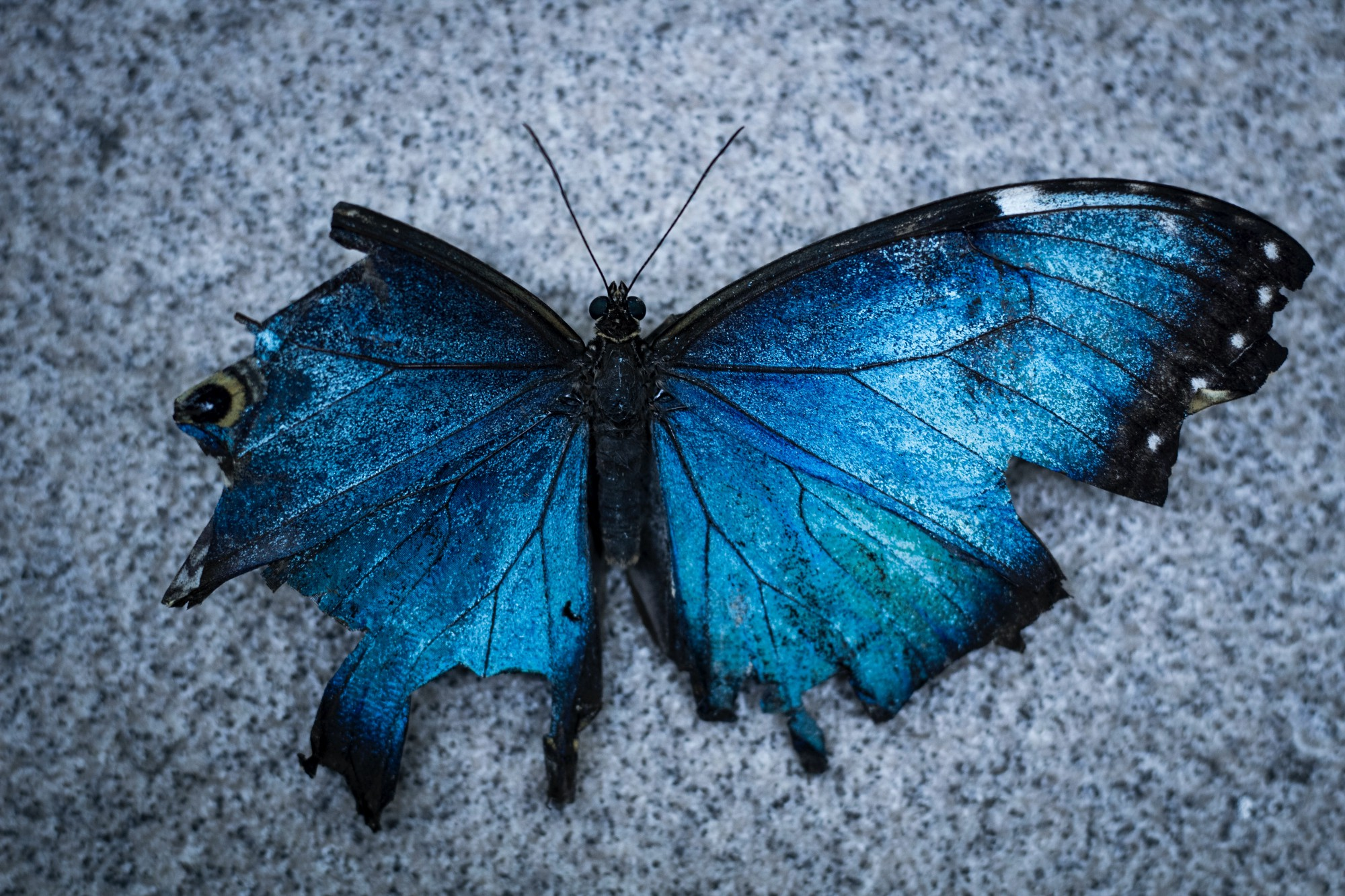 Picture of a tattered blue and black butterfly reminiscent of a starry night sky