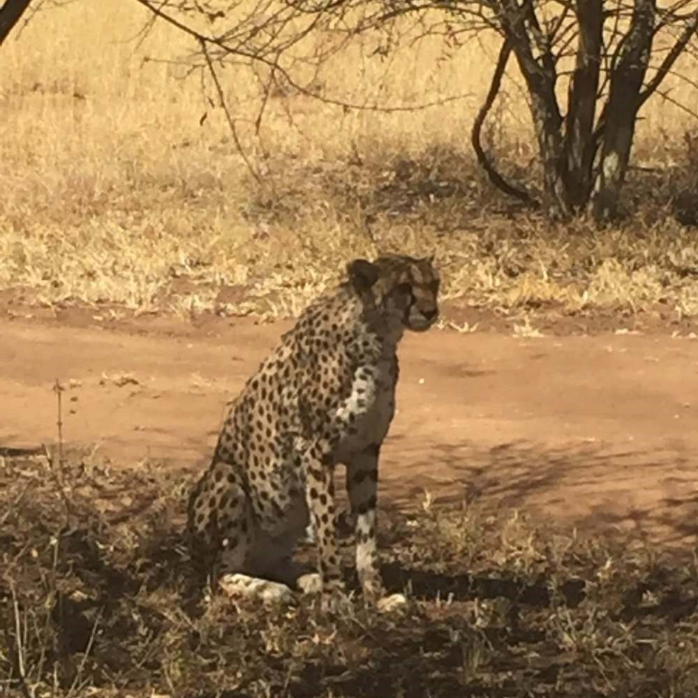 Cheetah, pateintly waiting for its prey