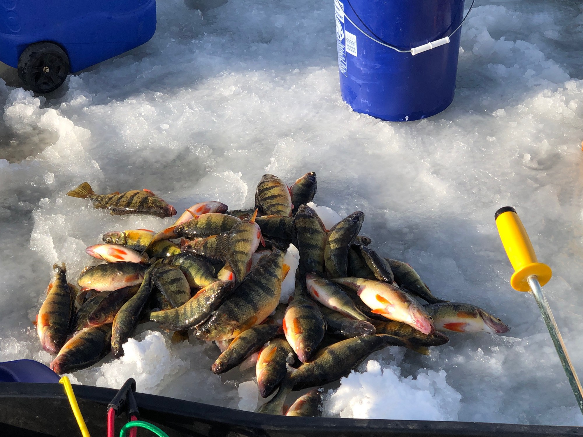 Perch are piled on the ice at a fishing hole.