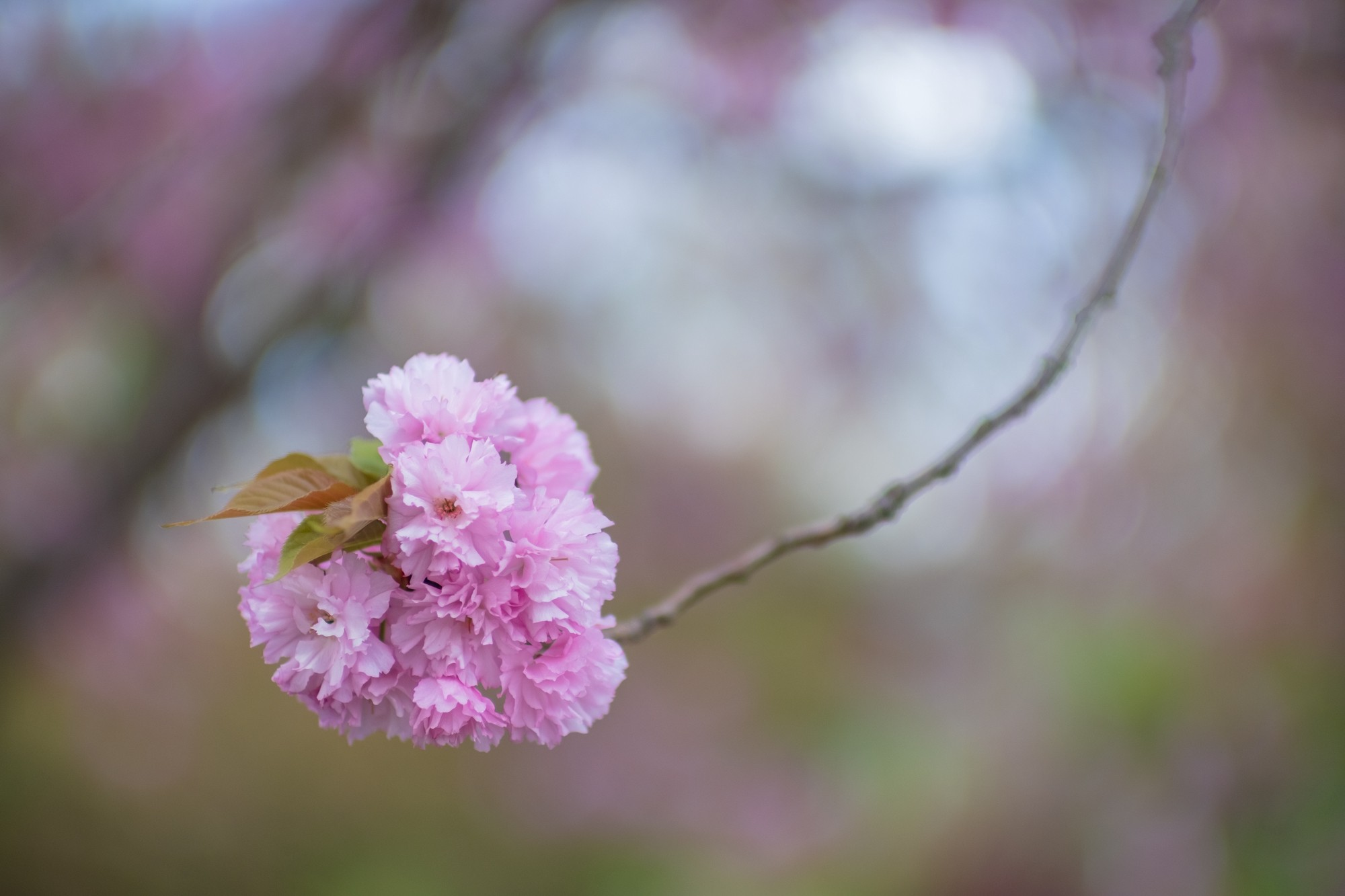 A cherry blossom on a bare branch.