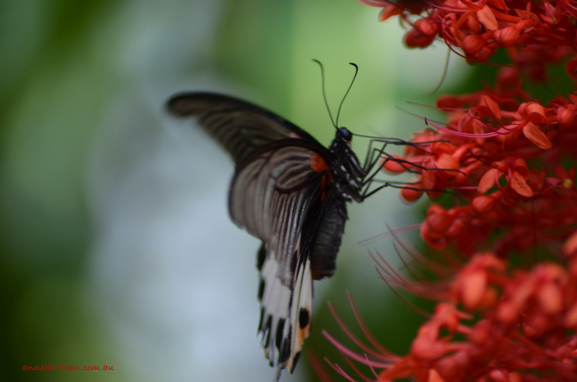 A black and white butterfly on a red flower