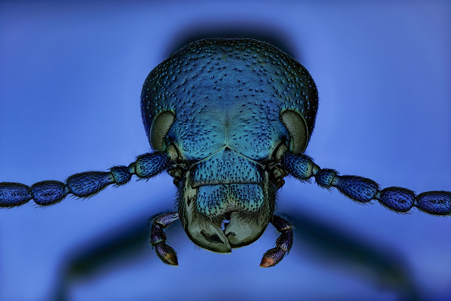 A close up photo of a beetle in rich, iridescent blue and green jewel tones, with small claws and segmented limbs