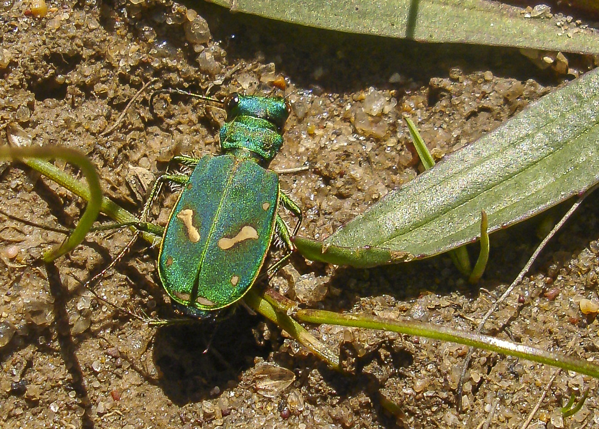 a vibrant emerald green beetle on the ground